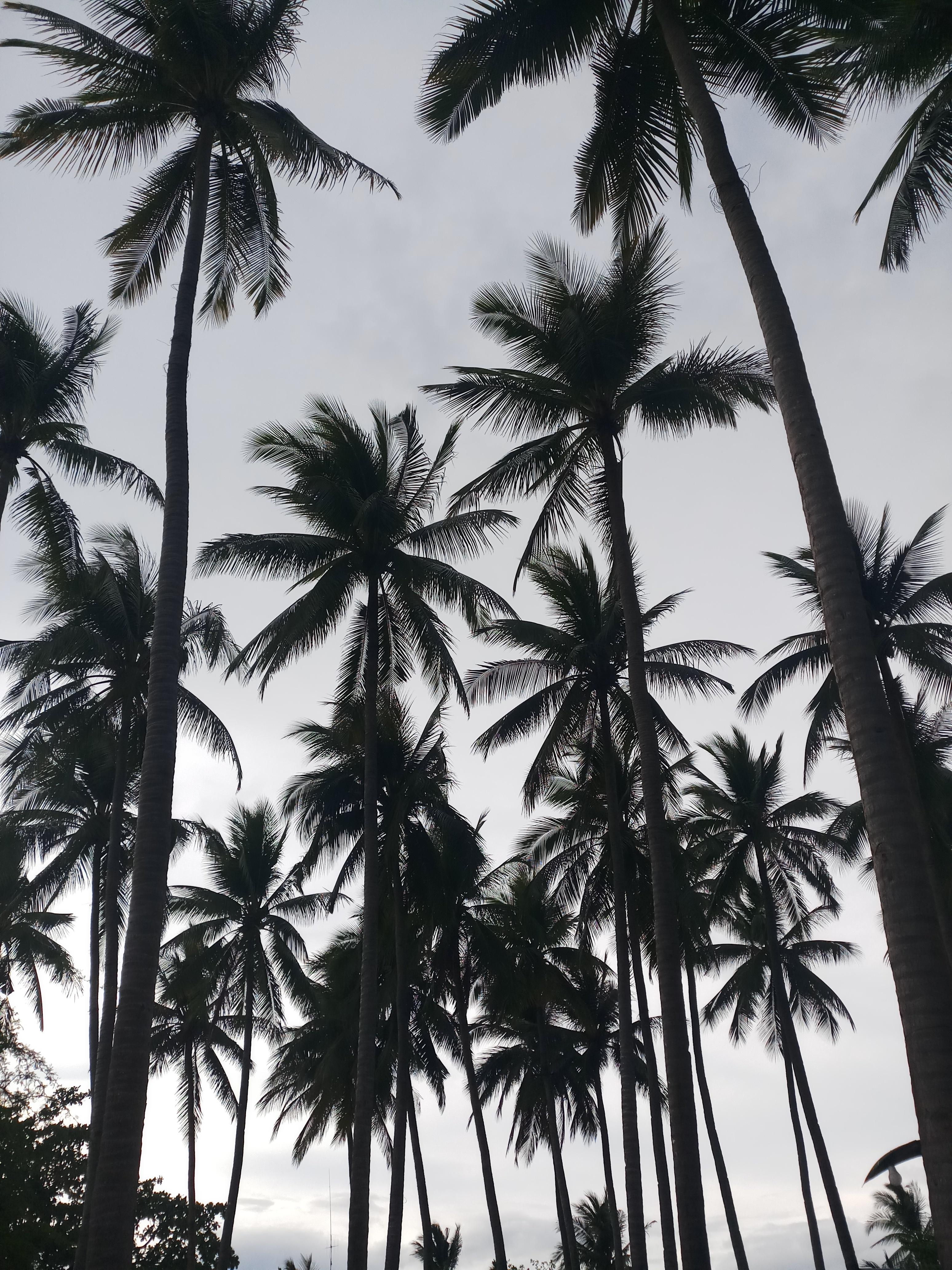 Cyrus Venancio - Coconut Tree Wallpaper Hd , HD Wallpaper & Backgrounds