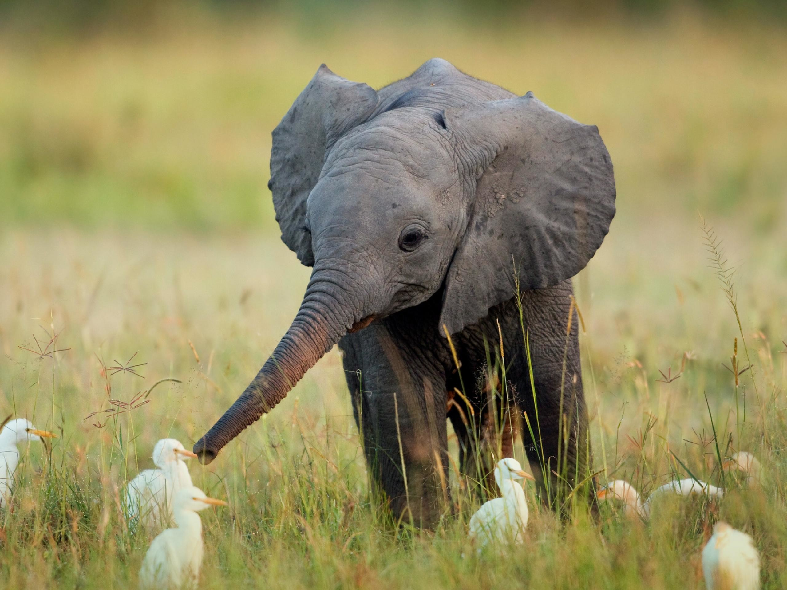 Cute Baby Elephant Baby Elephant And Ducklings 119022