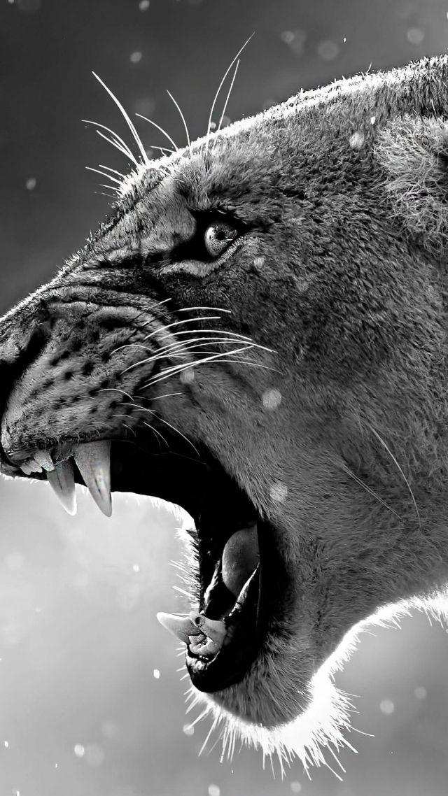 Lion Roaring 4k Tiger Wallpaper Black And White