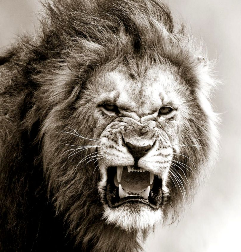 Male Lions Roaring Wallpaper Google Search Lions Tigres - Male Lion I Masai Mara Kenya , HD Wallpaper & Backgrounds