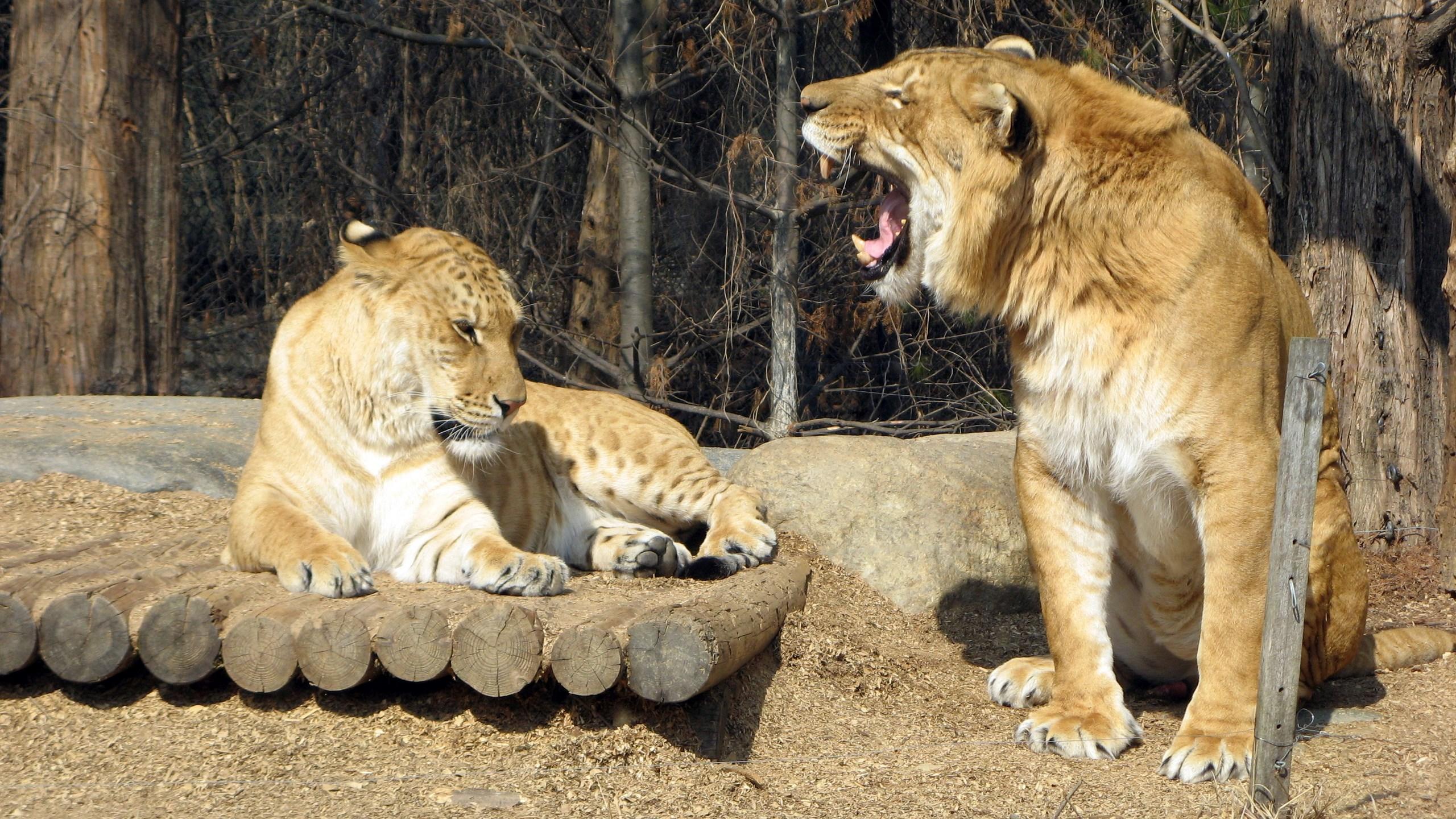 Roaring Lion Hd Wallpaper - Hybrid Animals Real , HD Wallpaper & Backgrounds