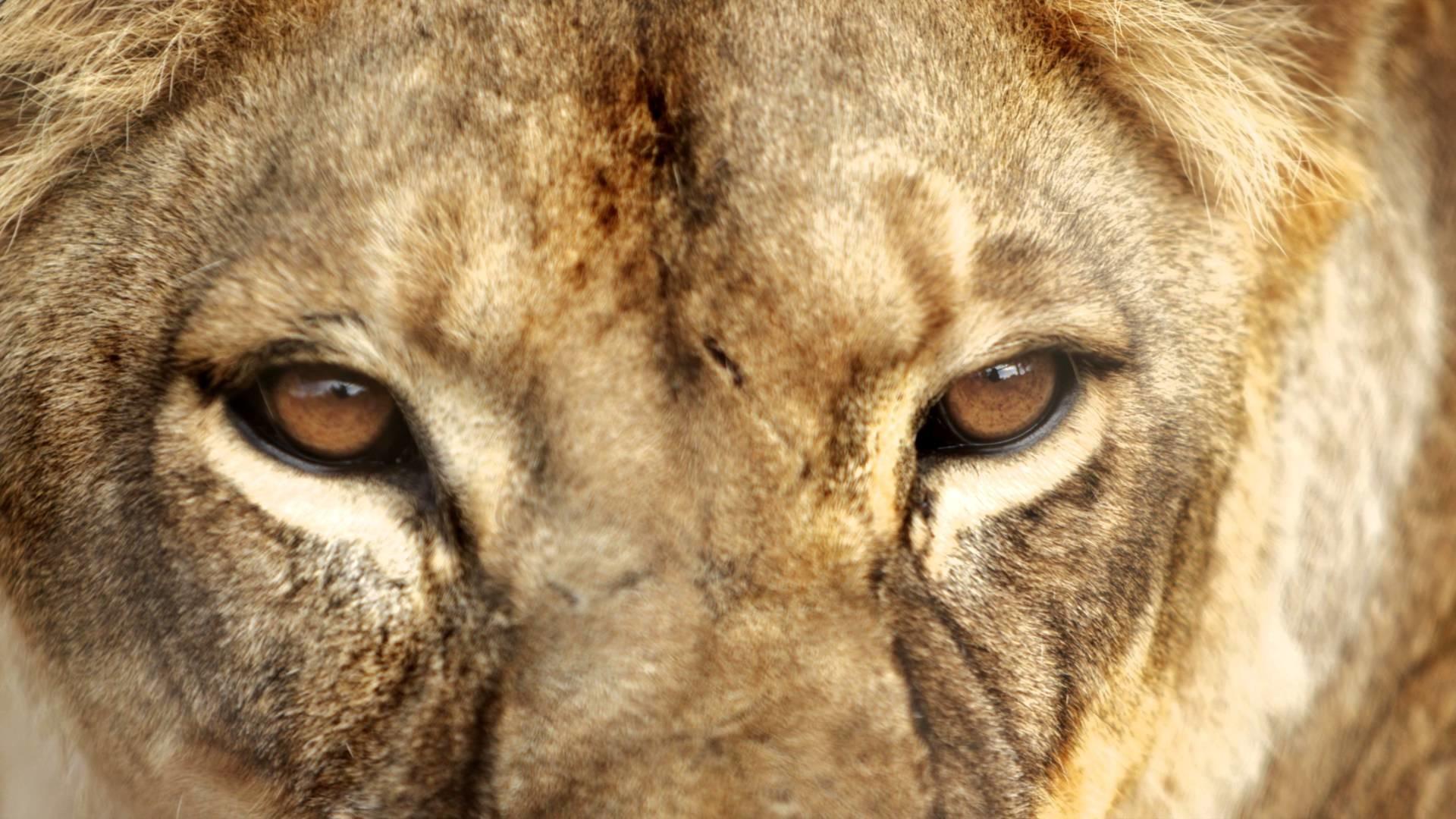 Download The Lion's Roar Wallpaper - Lions Eyes Close Up , HD Wallpaper & Backgrounds