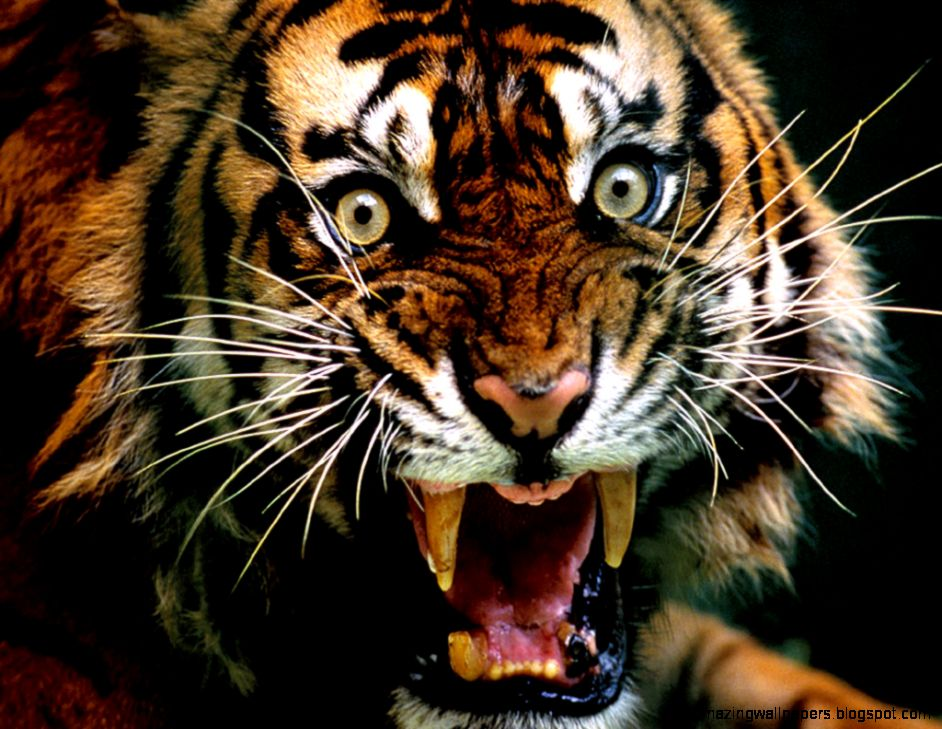 View Original Size - Angry Tiger , HD Wallpaper & Backgrounds