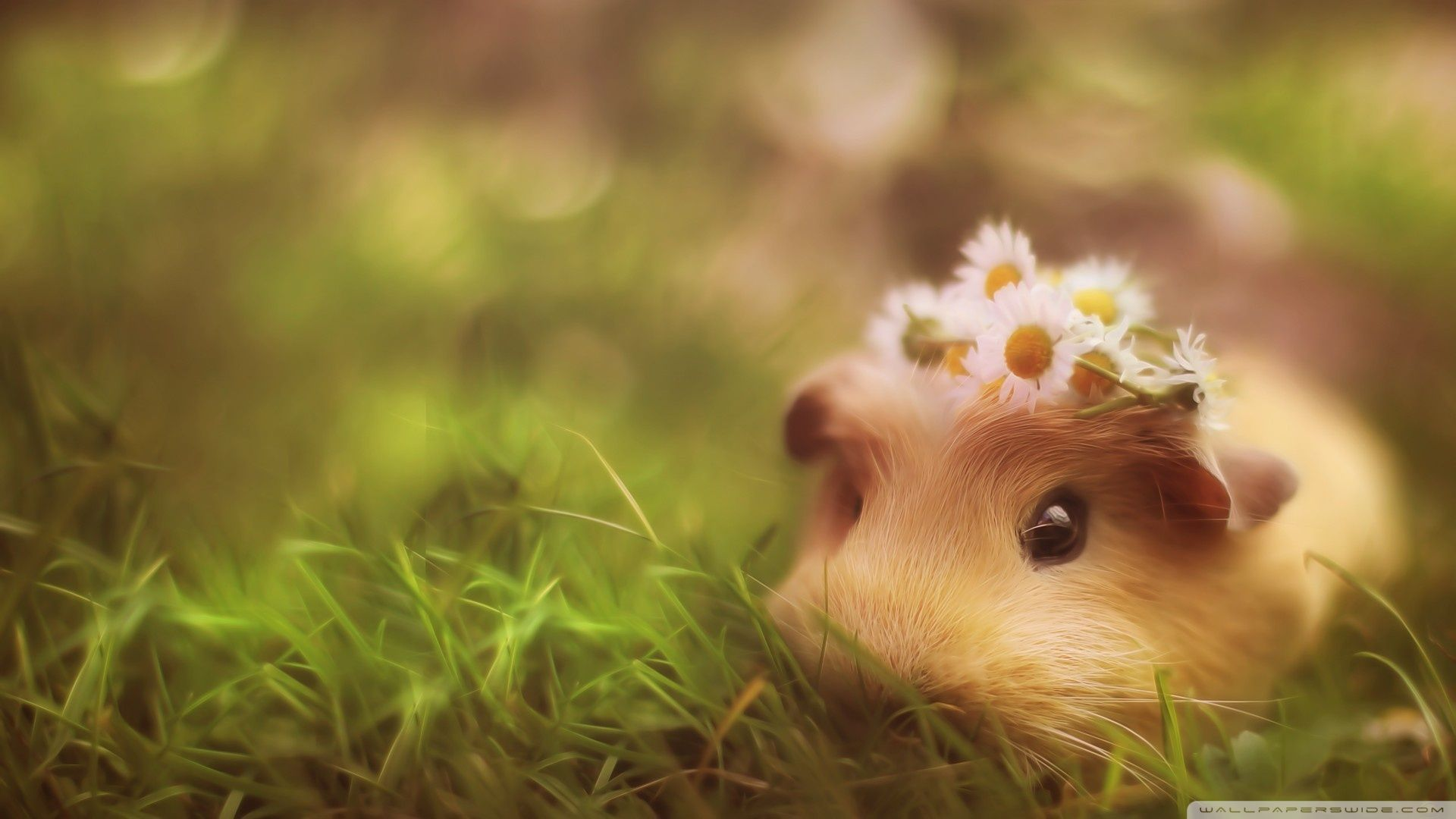 Cute Guinea Pig ❤ 4k Hd Desktop Wallpaper For 4k Ultra - Guinea Pig Wallpaper Phone , HD Wallpaper & Backgrounds