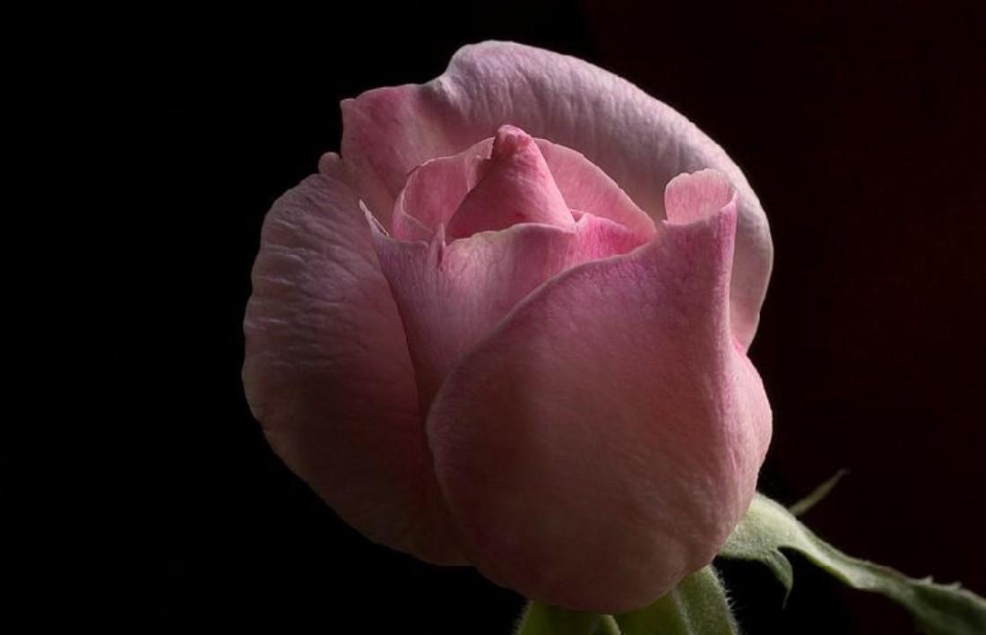 Black Rosebud Pink Wallpaper Flower For Desktop Detail - Beautiful Morning Rose Gif , HD Wallpaper & Backgrounds