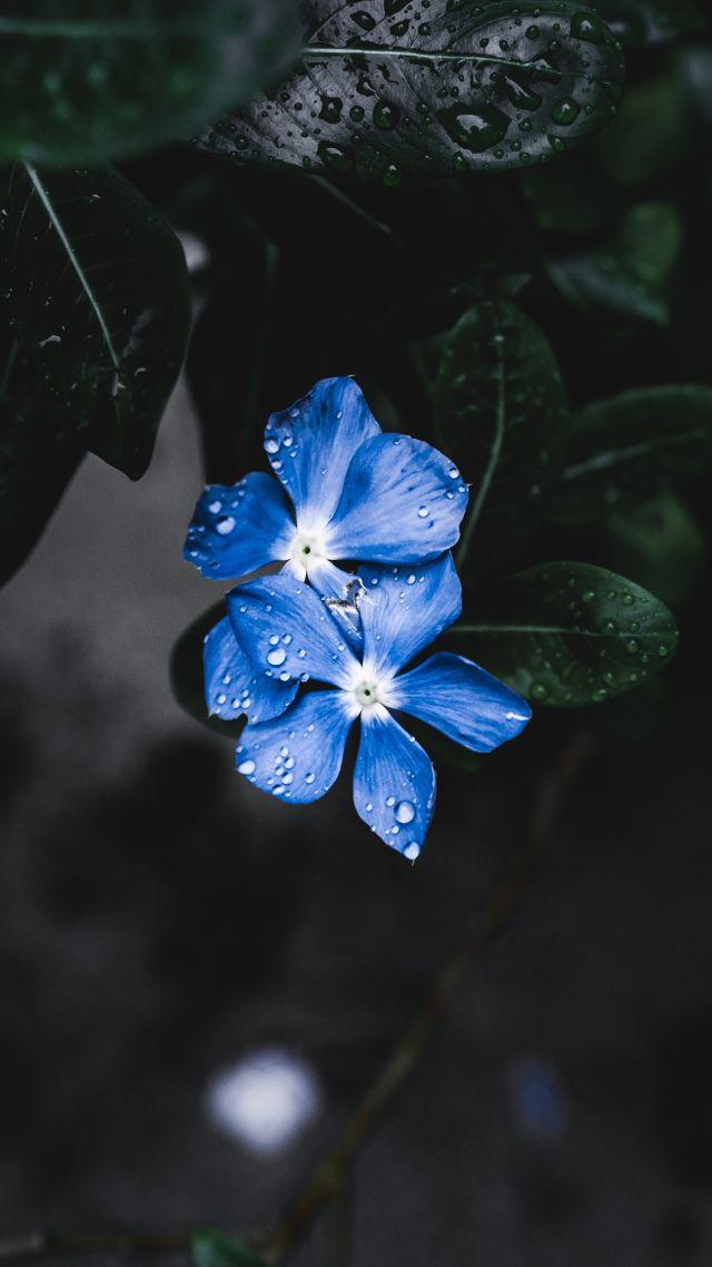 Blue Flower Forget Me Not 4k 5k Flowers Wallpaper Iphone 8 Blue 1163496 Hd Wallpaper Backgrounds Download