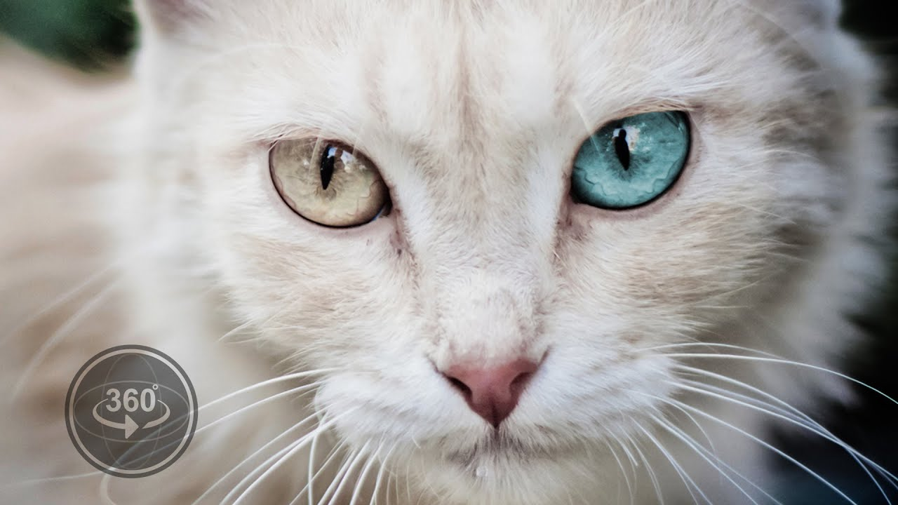 Awakened Cute Cat At Home Deluxe Hd Edition 3d Live - Animals With Big Colourful Eyes , HD Wallpaper & Backgrounds