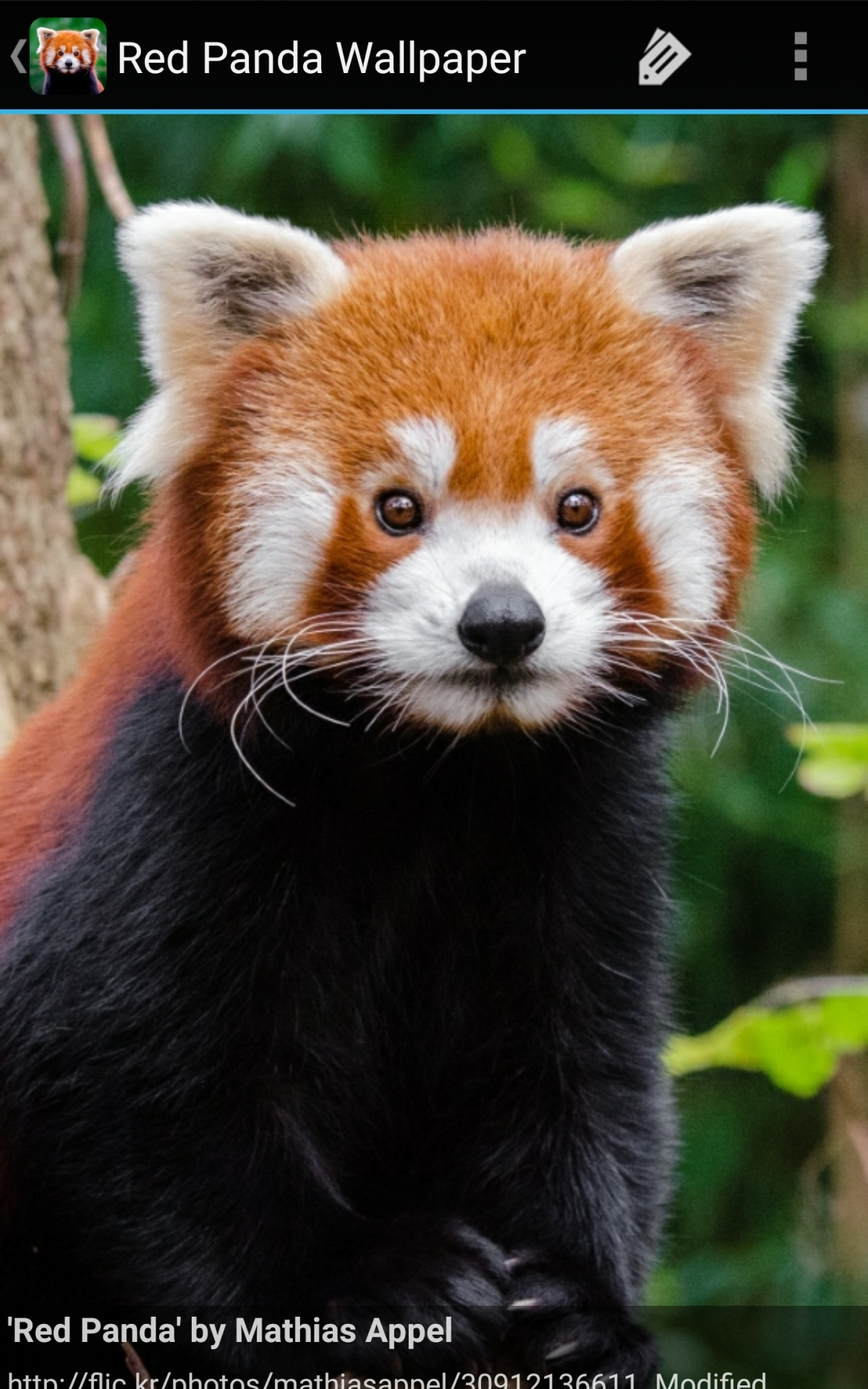 Kawaii Red Panda Panda Pictures