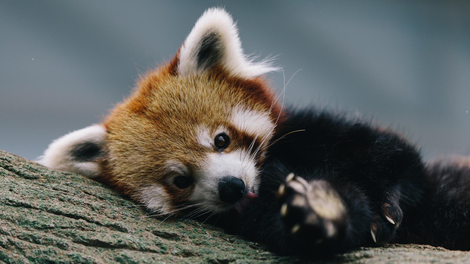 Download Sad Baby Red Panda Wallpaper - Red Panda On Itl.cat