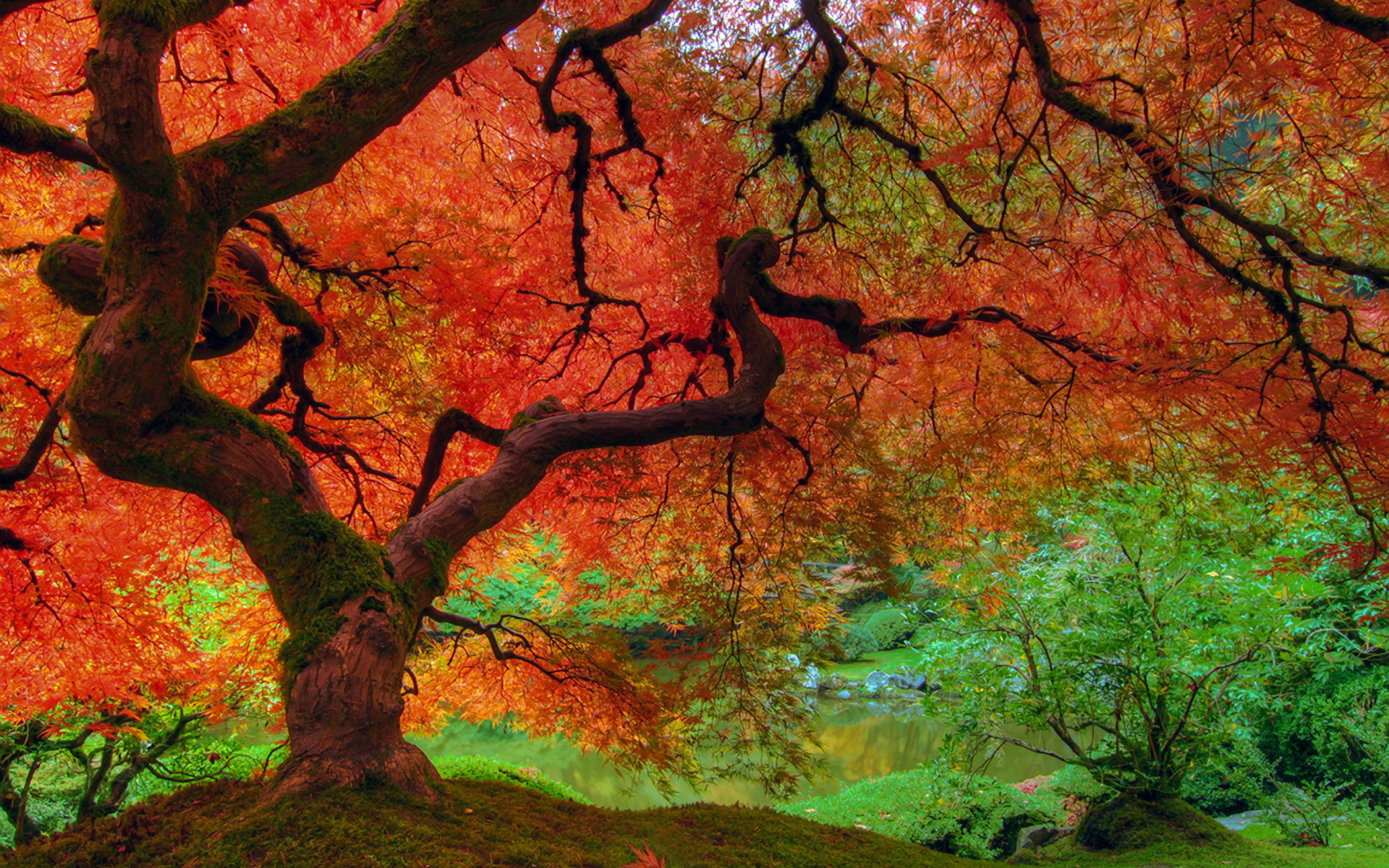 Fall Wallpapers - Red Maple Tree , HD Wallpaper & Backgrounds