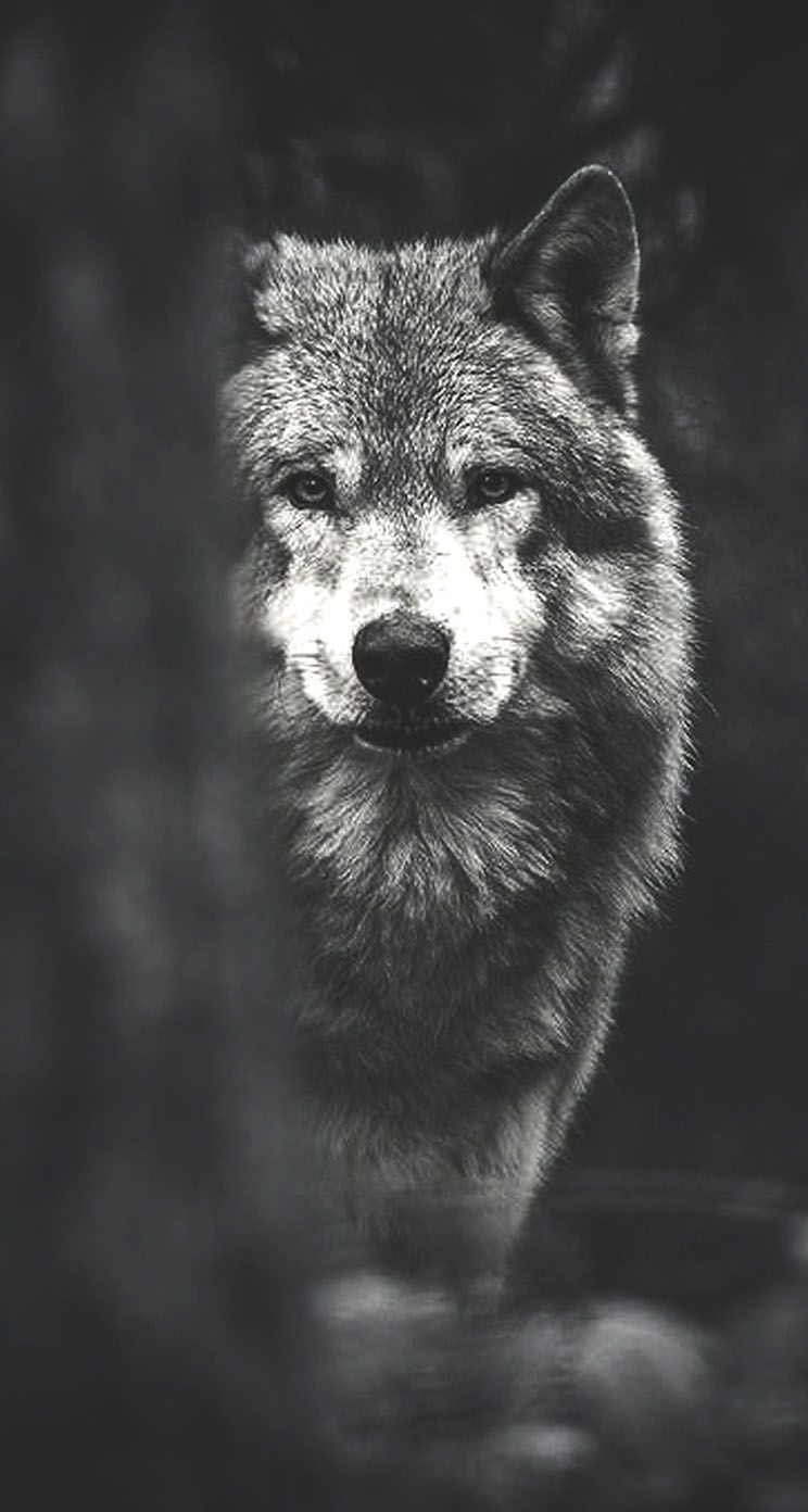 wolf wallpaper phone hd 129460 hd