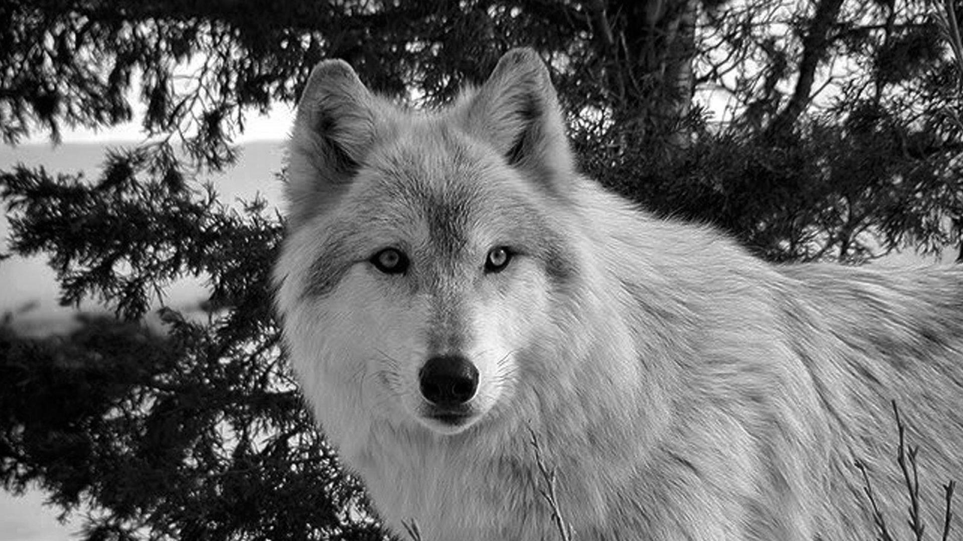 Black And White Wolf Wallpaper Wolf Black And White Wolf Hd 129992 Hd Wallpaper Backgrounds Download