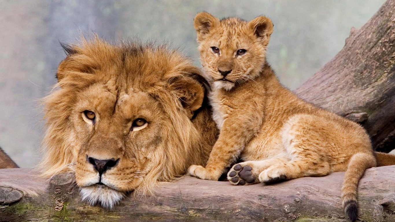 - - Young And Adult Lion , HD Wallpaper & Backgrounds