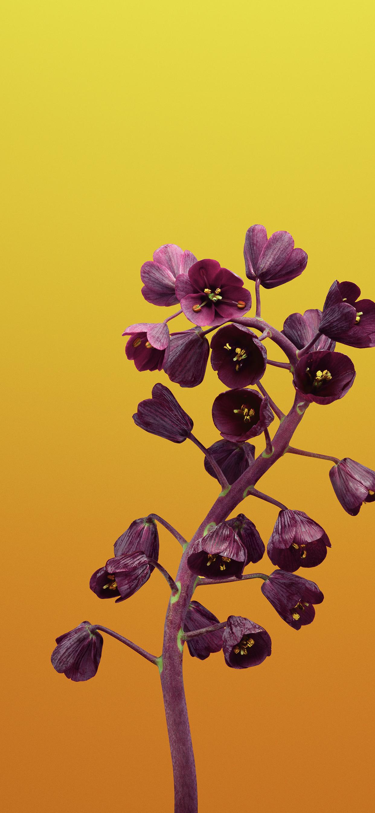 120 1202145 ios 11 flower fritillaria yellow 4k wallpaper iphone