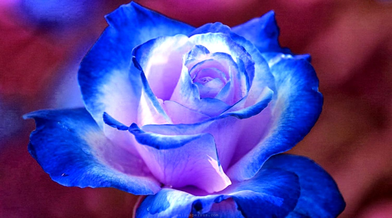 Hd Wallpapers Desktop Blue Flower Hd Wallpapers Sweet - Beautiful Blue And Purple Rose , HD Wallpaper & Backgrounds