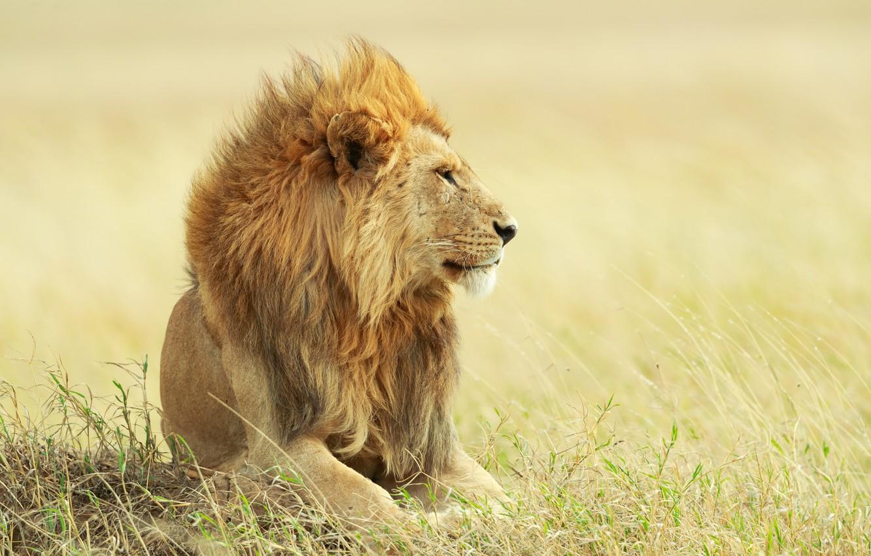Photo Wallpaper Grass, Portrait, Leo, The King Of Beasts, - Leon Fondo De Whatsapp , HD Wallpaper & Backgrounds