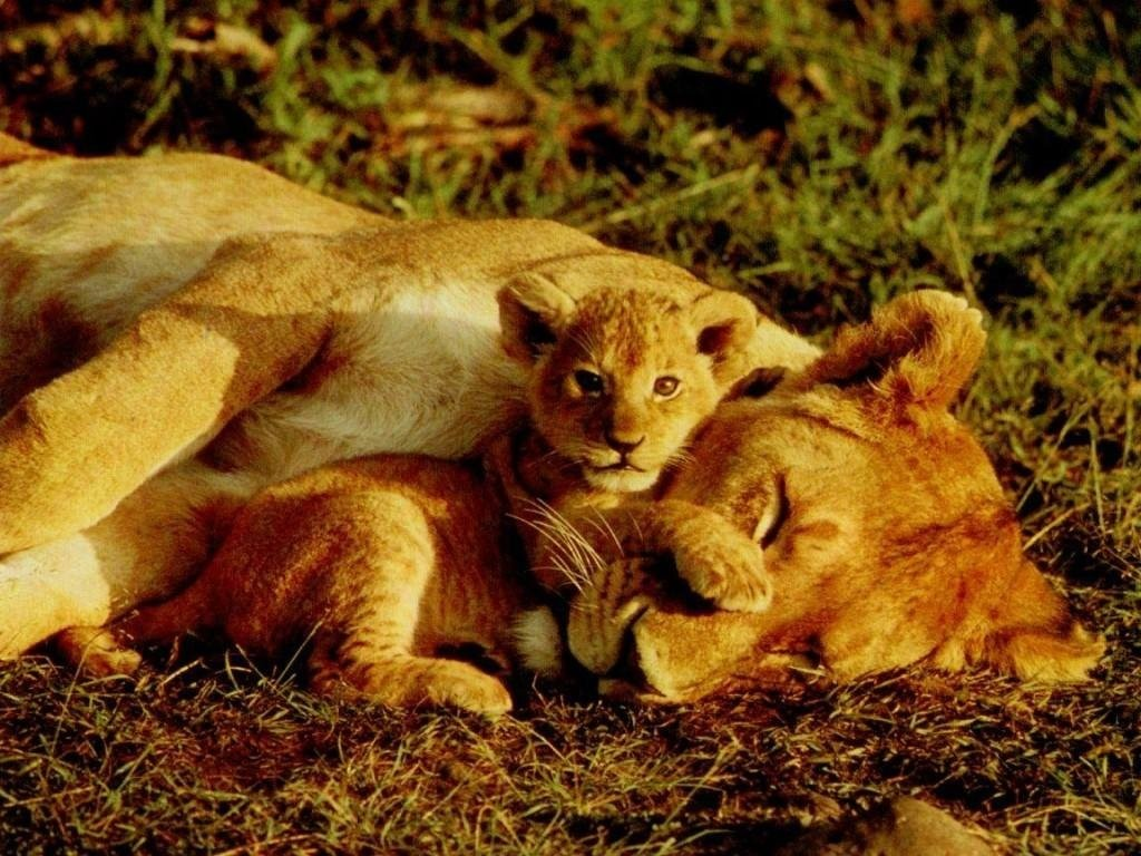 Leao Animal Leoa Cub Lion Cat Wallpaper Abyss - Mama Lion Cub , HD Wallpaper & Backgrounds