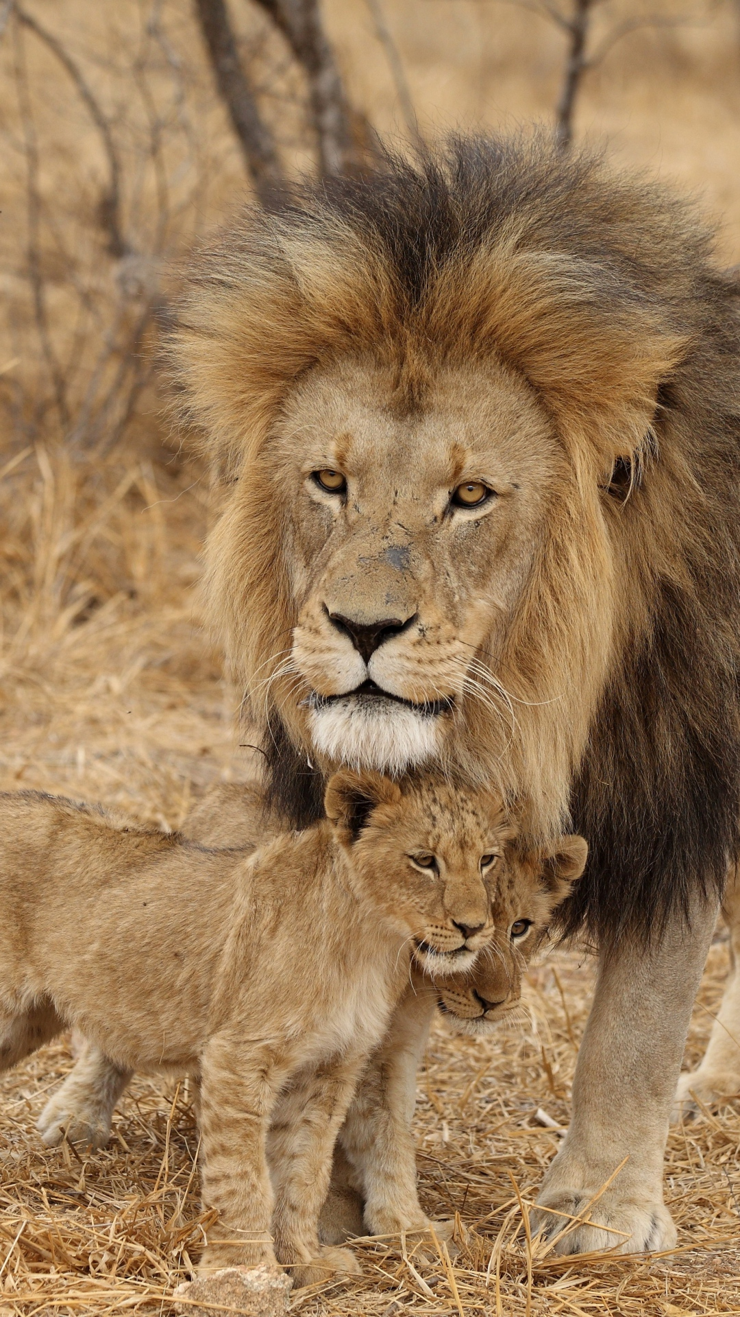 Even The King Of The Jungle Has To - Male Lion And Family , HD Wallpaper & Backgrounds