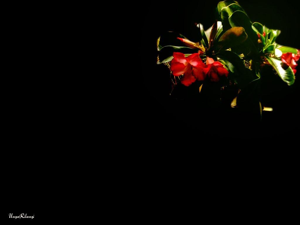Adenium Darkbackground Photography Green Red Kamboja Garden
