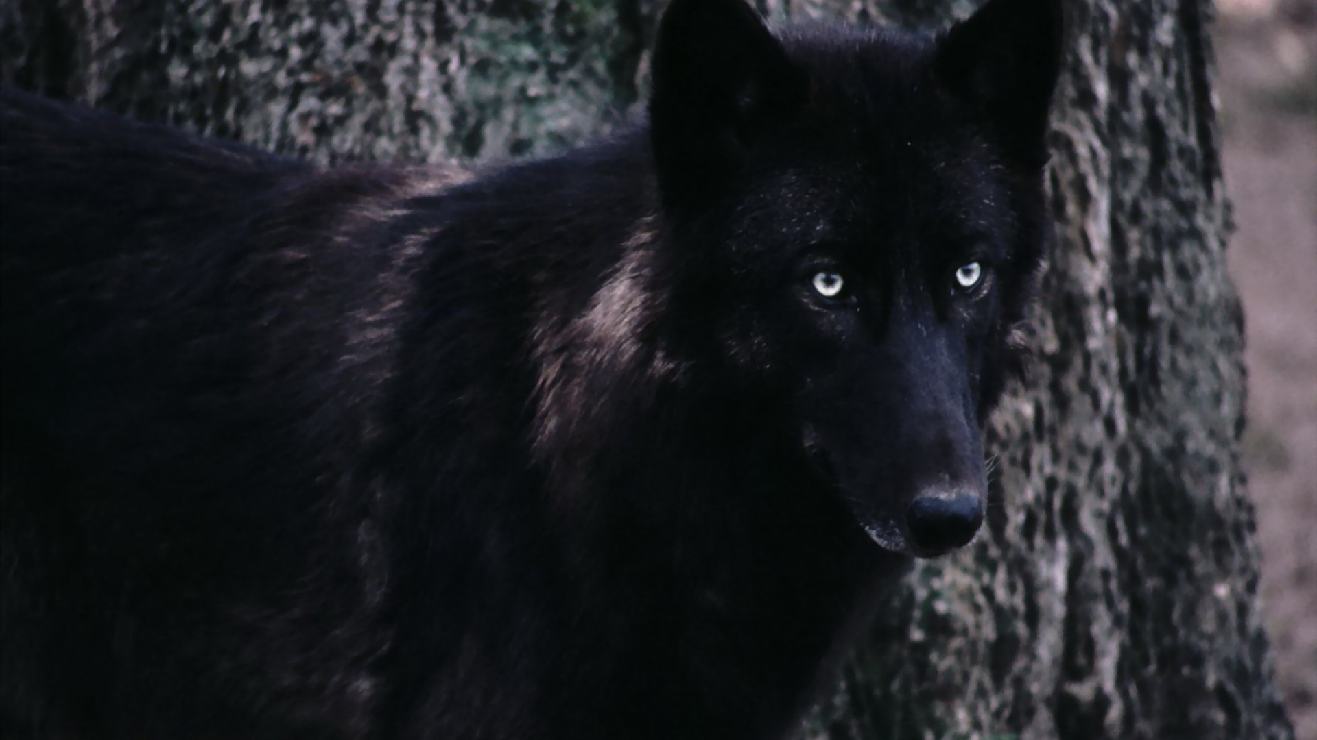Black Wolf Wallpaper Hd Black Wolf With White Eyes 130076 Hd Wallpaper Backgrounds Download