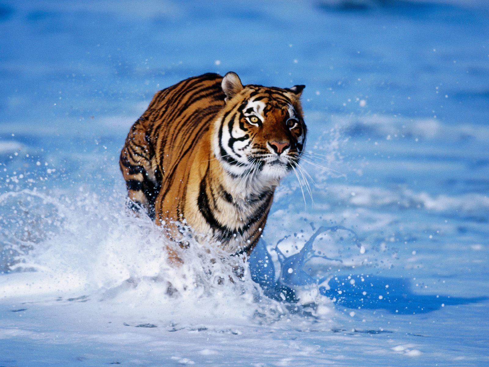 Tiger Wallpaper - Hd Wallpaper Royal Bengal Tiger , HD Wallpaper & Backgrounds