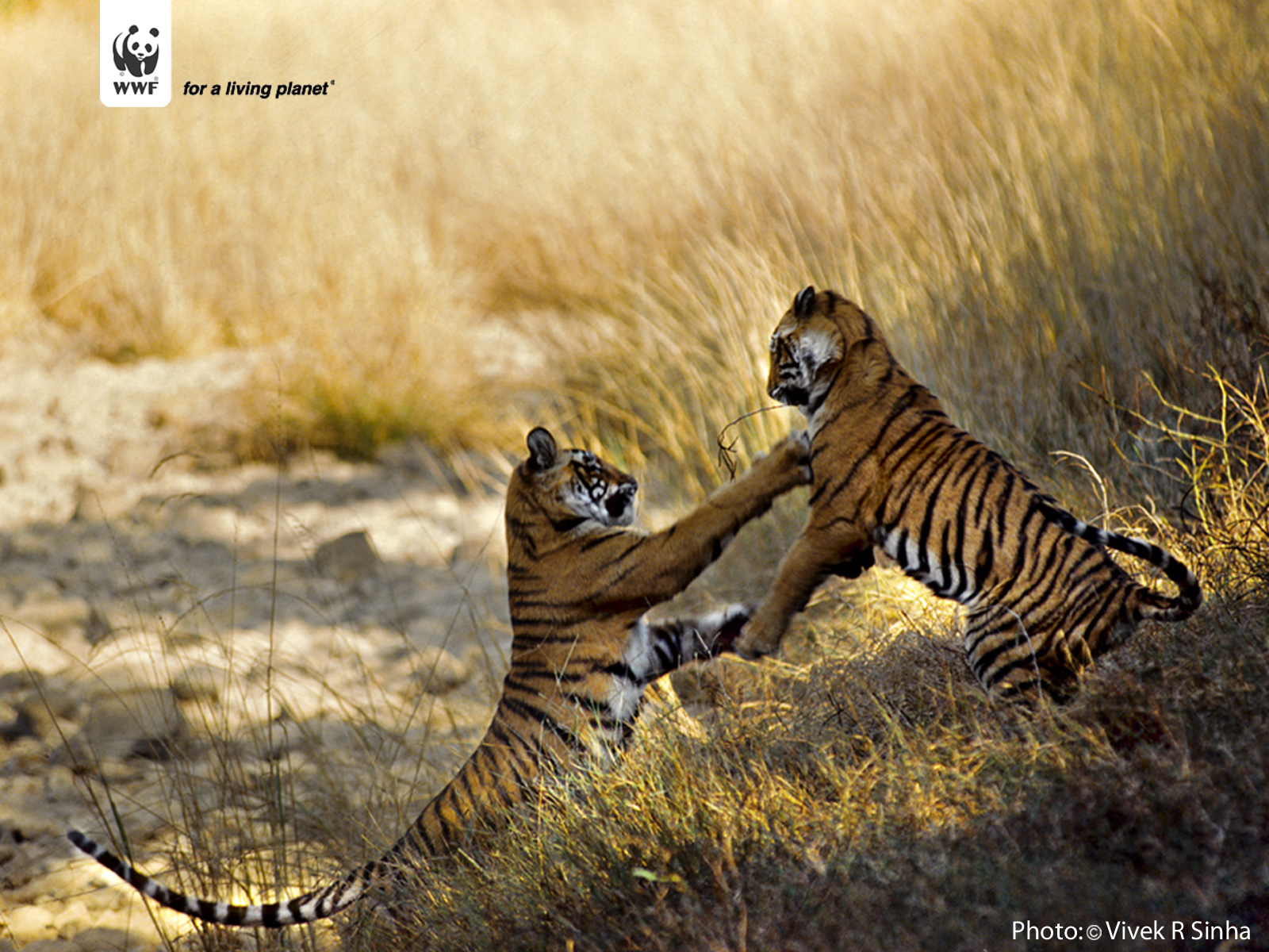 Tiger Wallpapers - Wwf Tiger , HD Wallpaper & Backgrounds