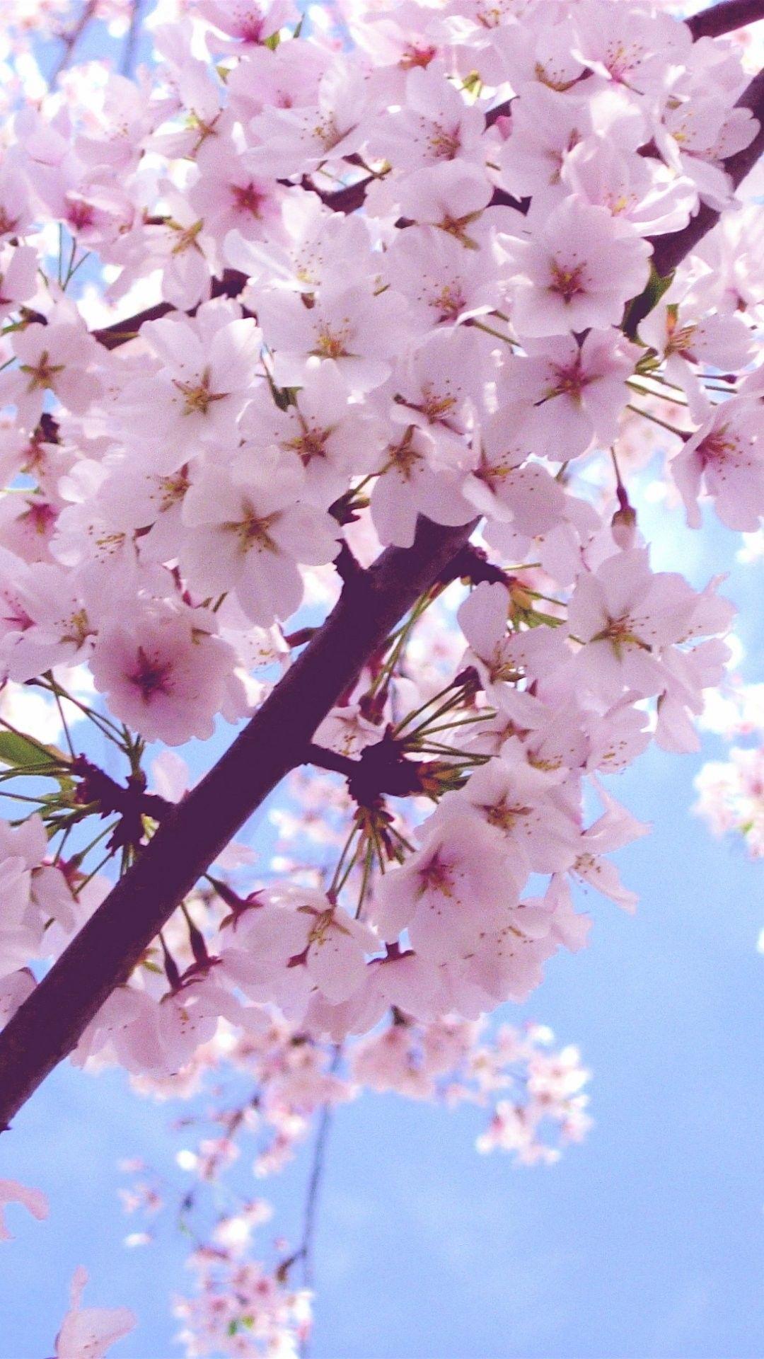 Iphone Wallpaper Cherry Blossom Wallpaper Iphone 134202 Hd