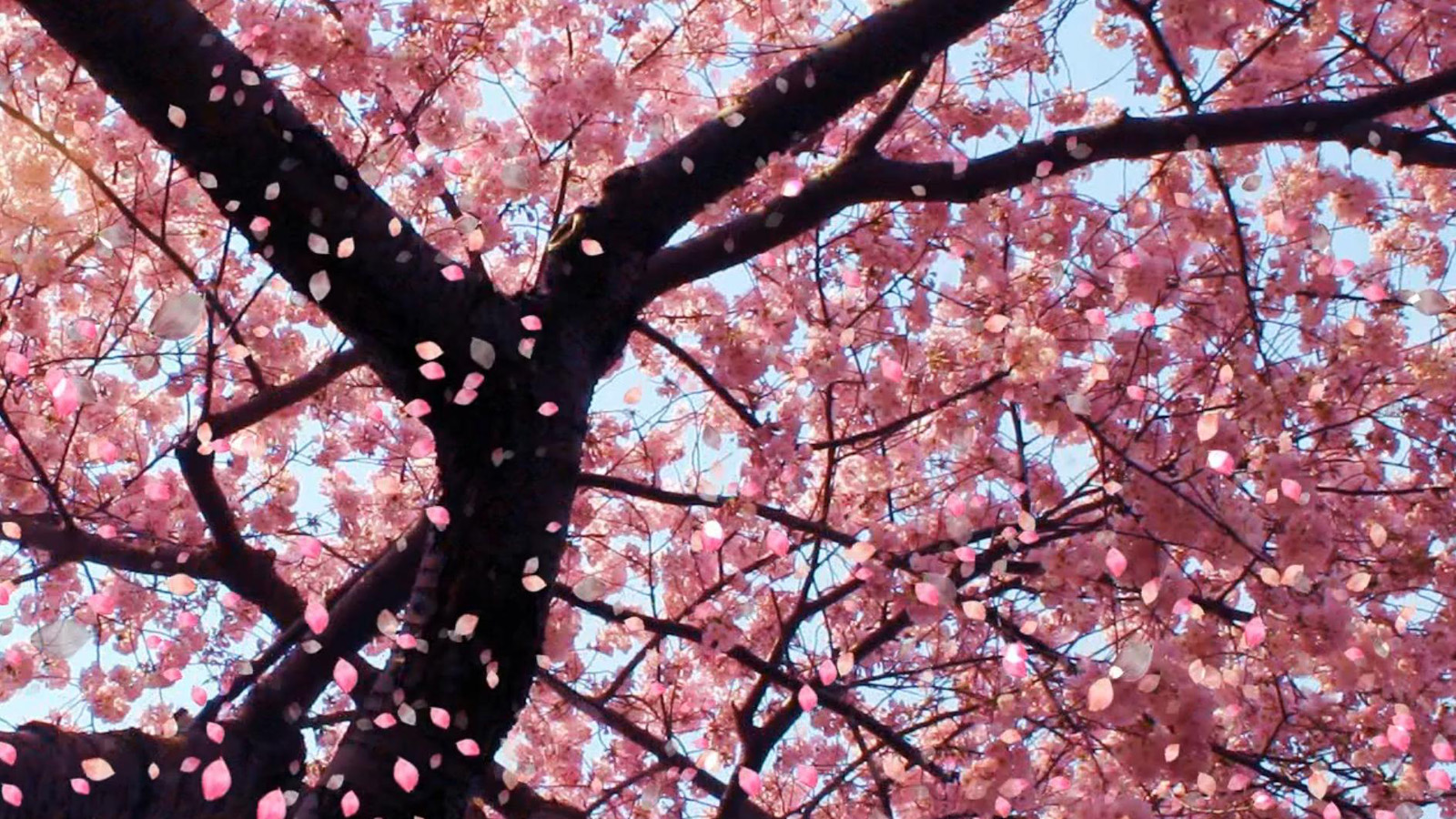 Cherry Blossom Animated Wallpaper - Flowers Falling Off Tree , HD Wallpaper & Backgrounds