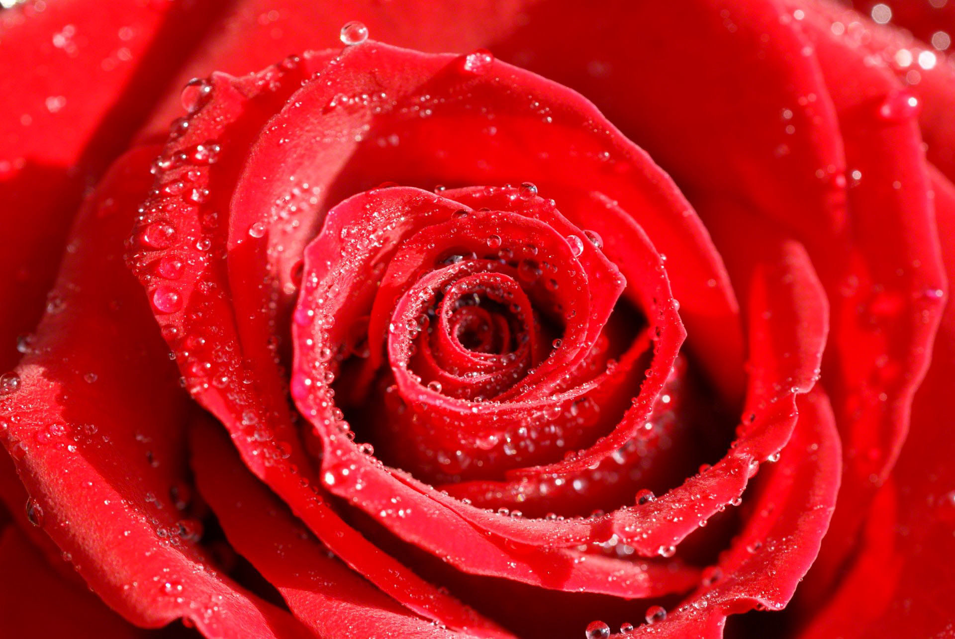 Rose Wallpaper Pictures Of Flowers , HD Wallpaper & Backgrounds