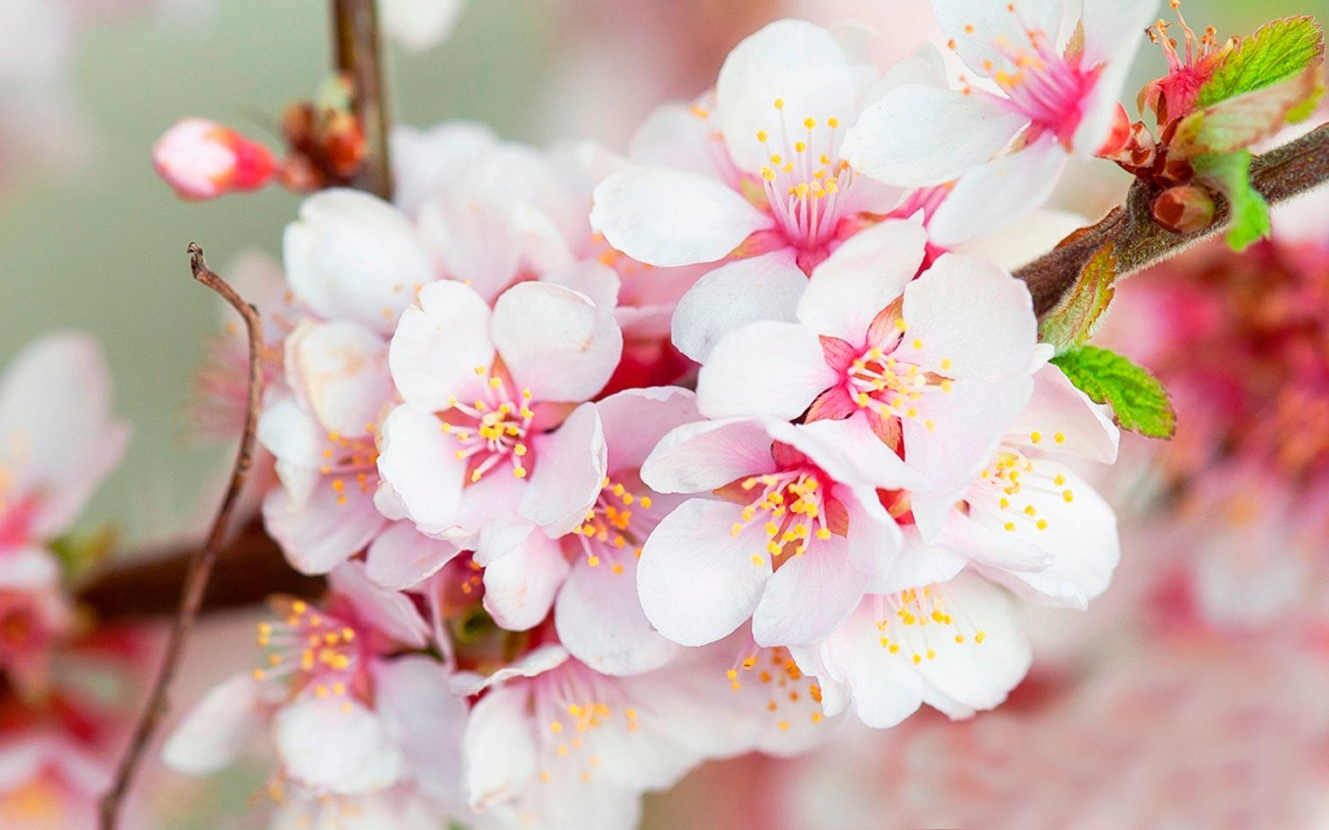 Cherry Blossom Live Wallpaper High Resolution Cherry Blossom