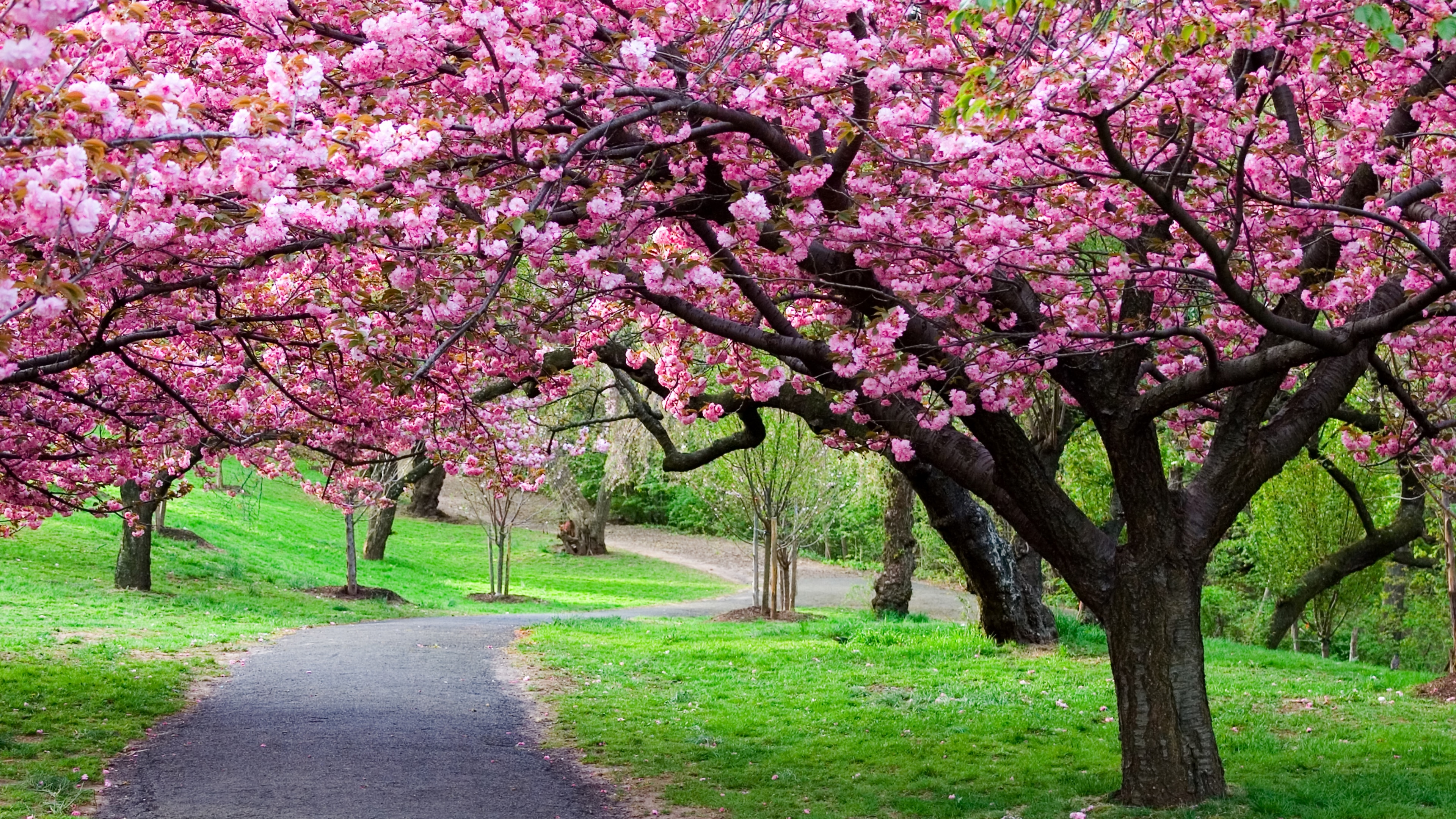 118 Cherry Blossom Hd Wallpapers - Cherry Blossom Tree Hd , HD Wallpaper & Backgrounds
