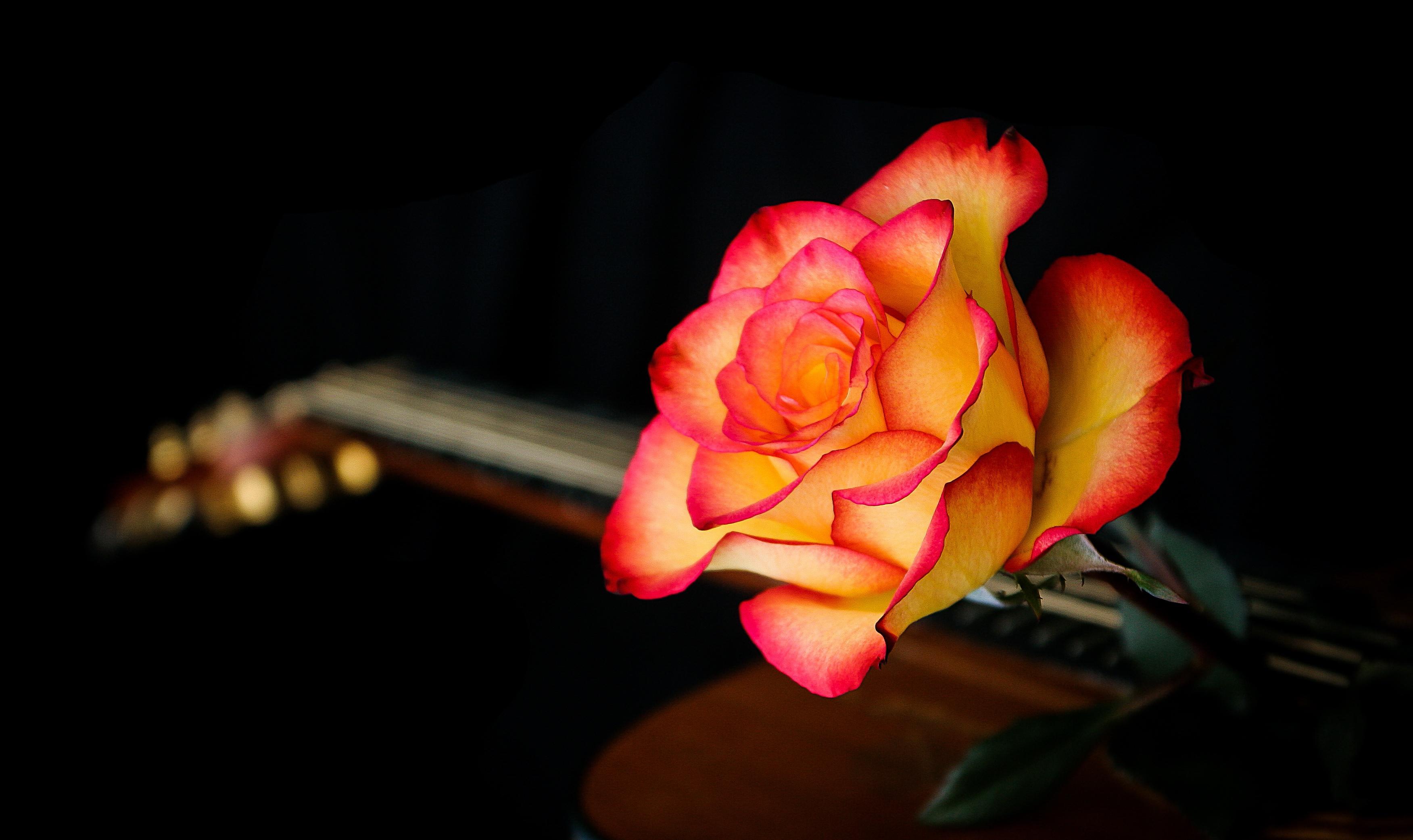 Flowers / Rose Flower Wallpaper - 8k Wallpapers Of Rose Flowers , HD Wallpaper & Backgrounds