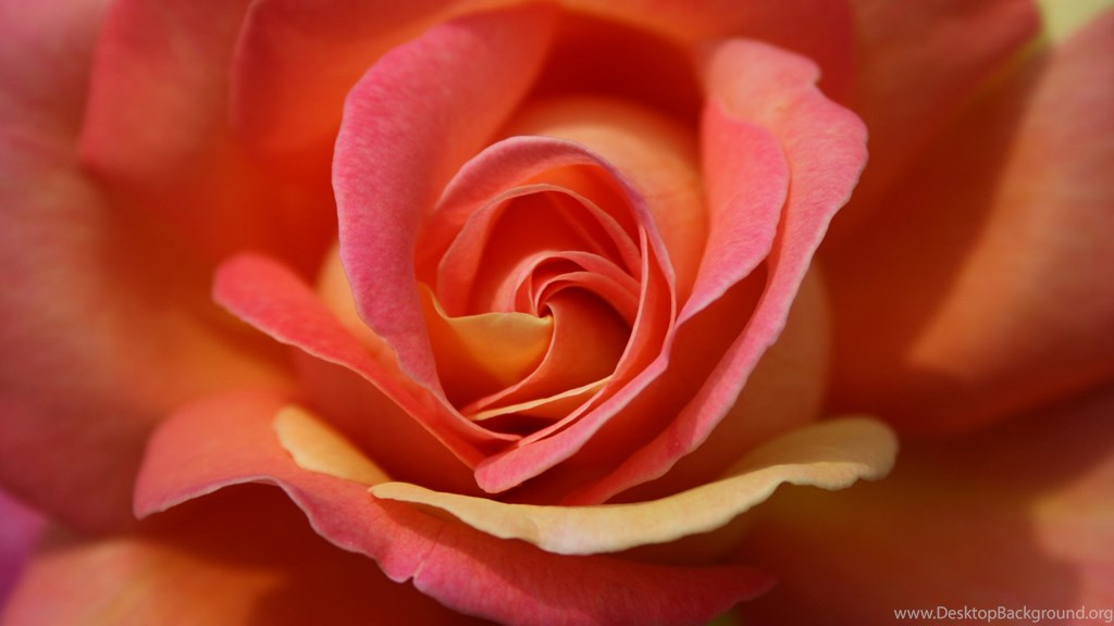 Single Rose Wallpapers 45, Rose Flower Images, Rose - Single Rose Wallpaper For Android , HD Wallpaper & Backgrounds