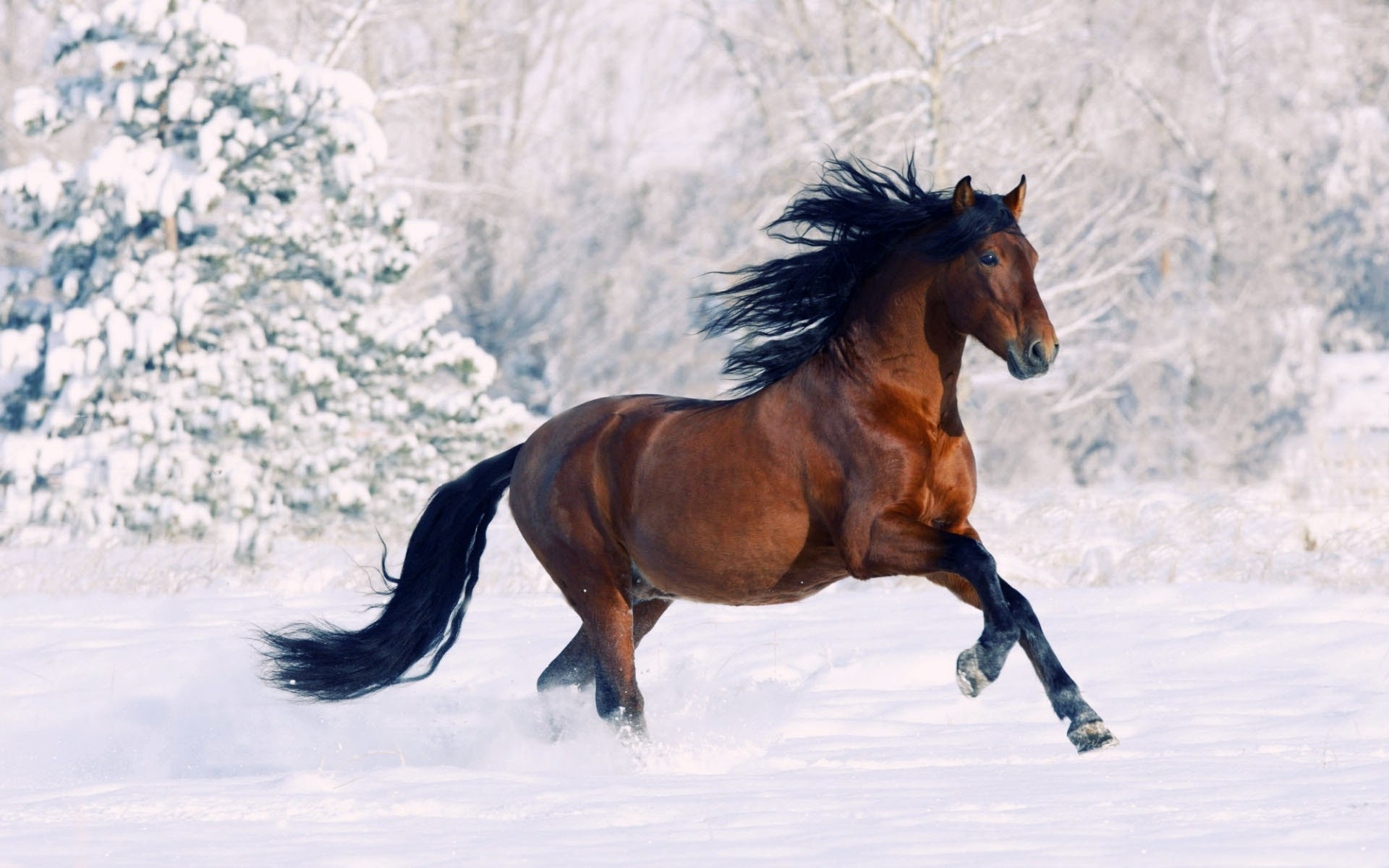 Horse Running Through Snow 138438 Hd Wallpaper
