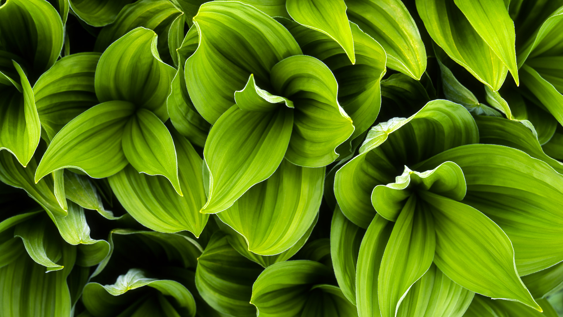 Green Plant Leaves Hd Wallpaper Hd Green Leaves Background