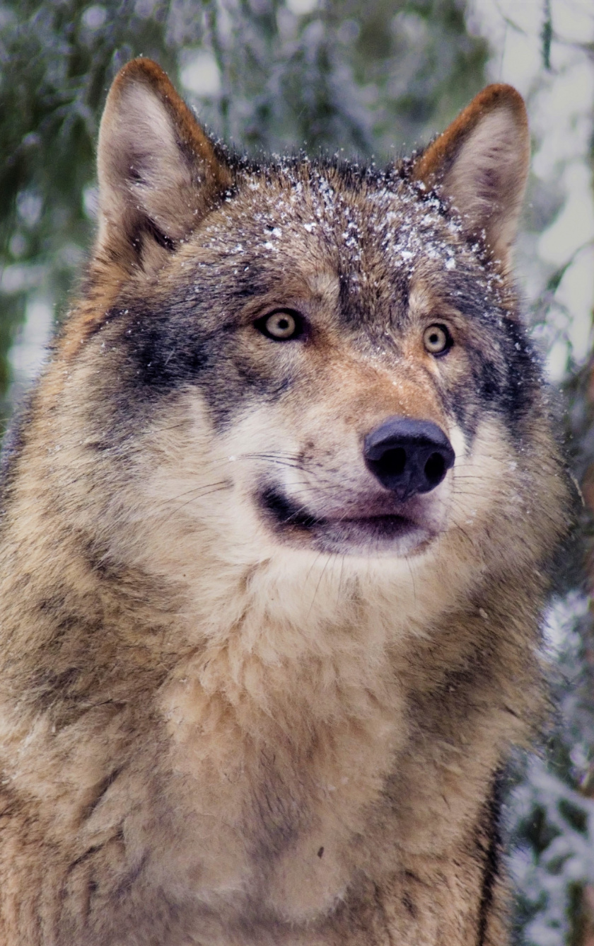 Wallpaper Predator, Muzzle, Wolf, Curious Animal, 4k - Grey Wolf , HD Wallpaper & Backgrounds