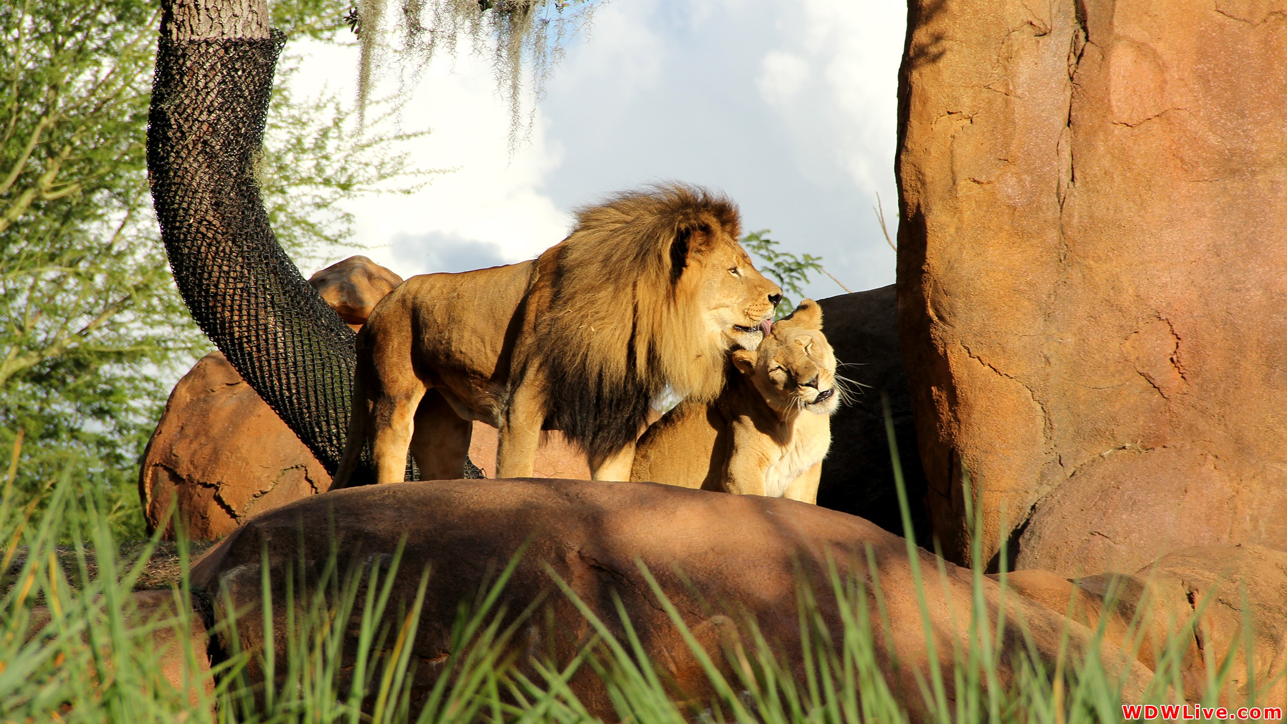 Lion And Lioness Kissing Animal Wallpaper Hd Background - Disney Animal Kingdom Lion , HD Wallpaper & Backgrounds