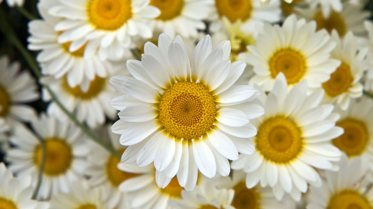 Download Convert View Source - Beautiful Yellow And White Flowers , HD Wallpaper & Backgrounds