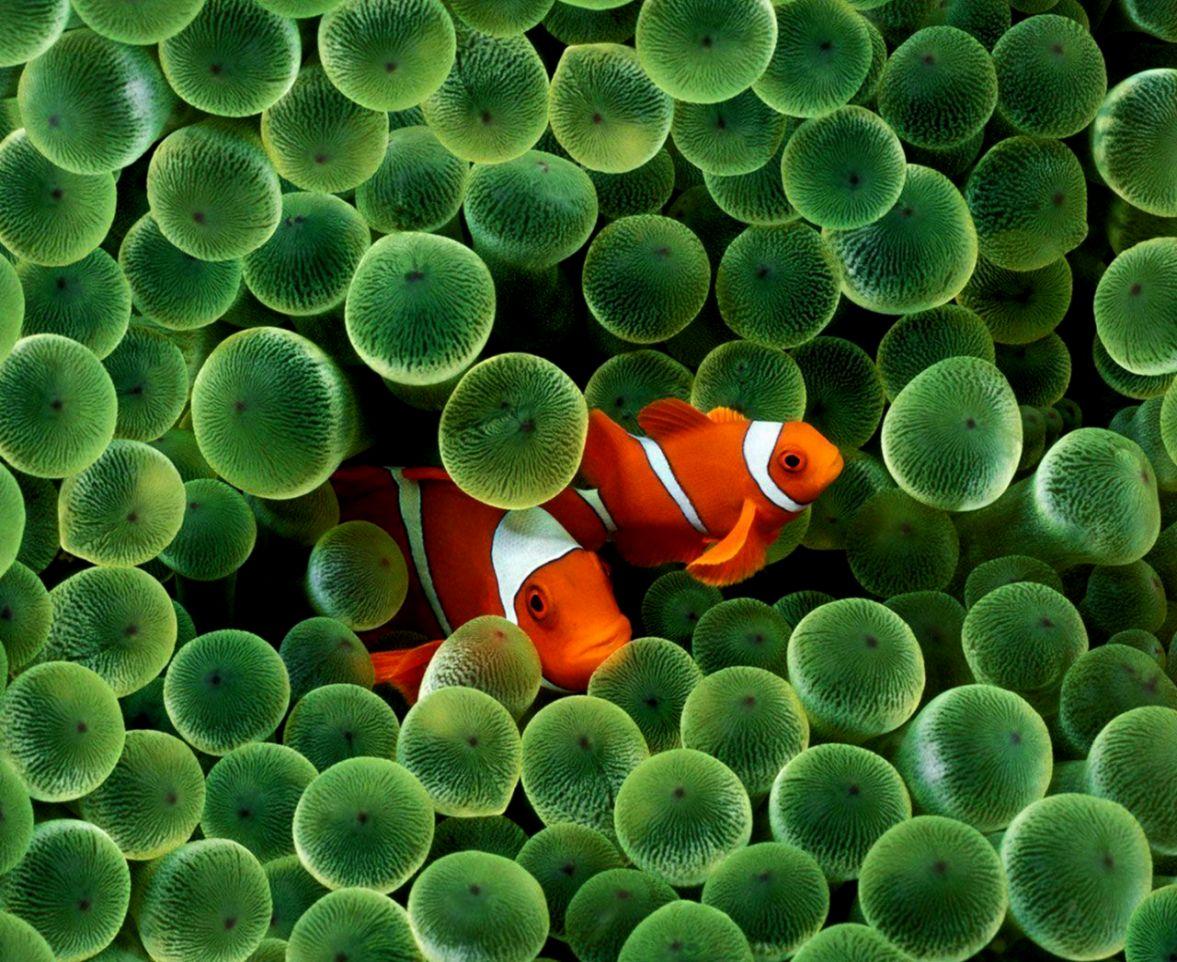 Clown Fish Wallpapers La Riproduzione Dei Pesci 1359236