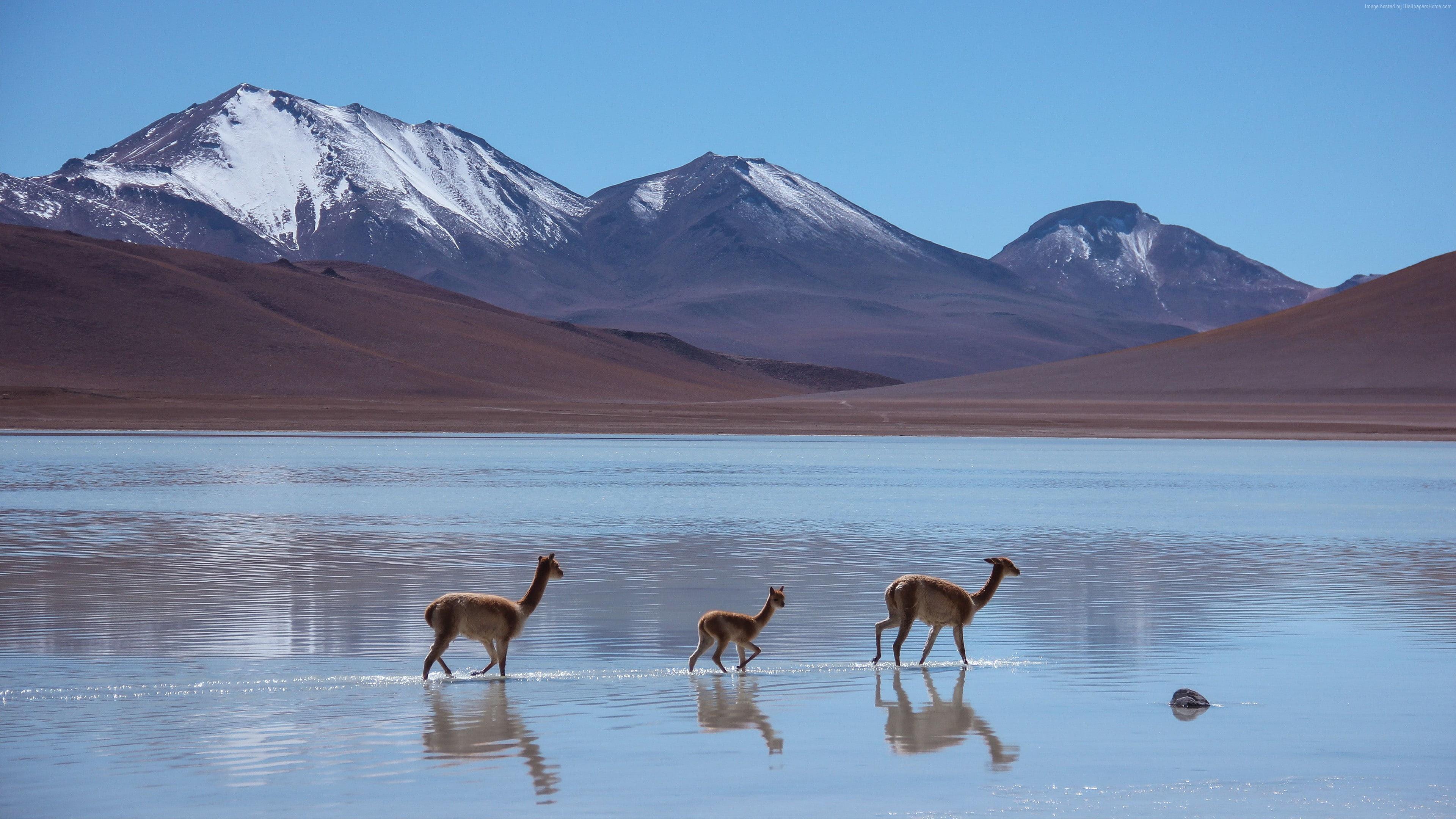 Lama Laguna Blanca Bolivia Mountains 4k 8k 16k Lama