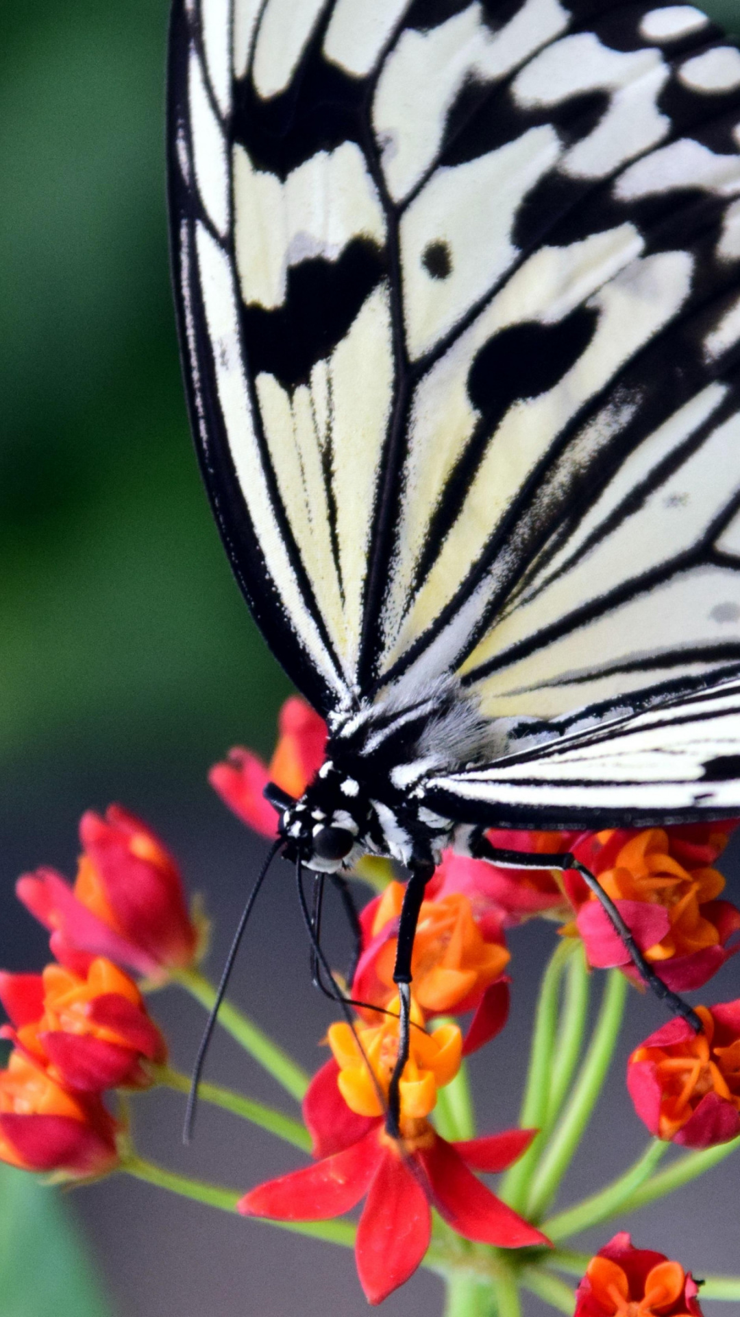 Moths And Butterflies, Lycaenid, Nectar, Pollinator, - Close Up Pictures Of Butterfly Wings And Flowers , HD Wallpaper & Backgrounds