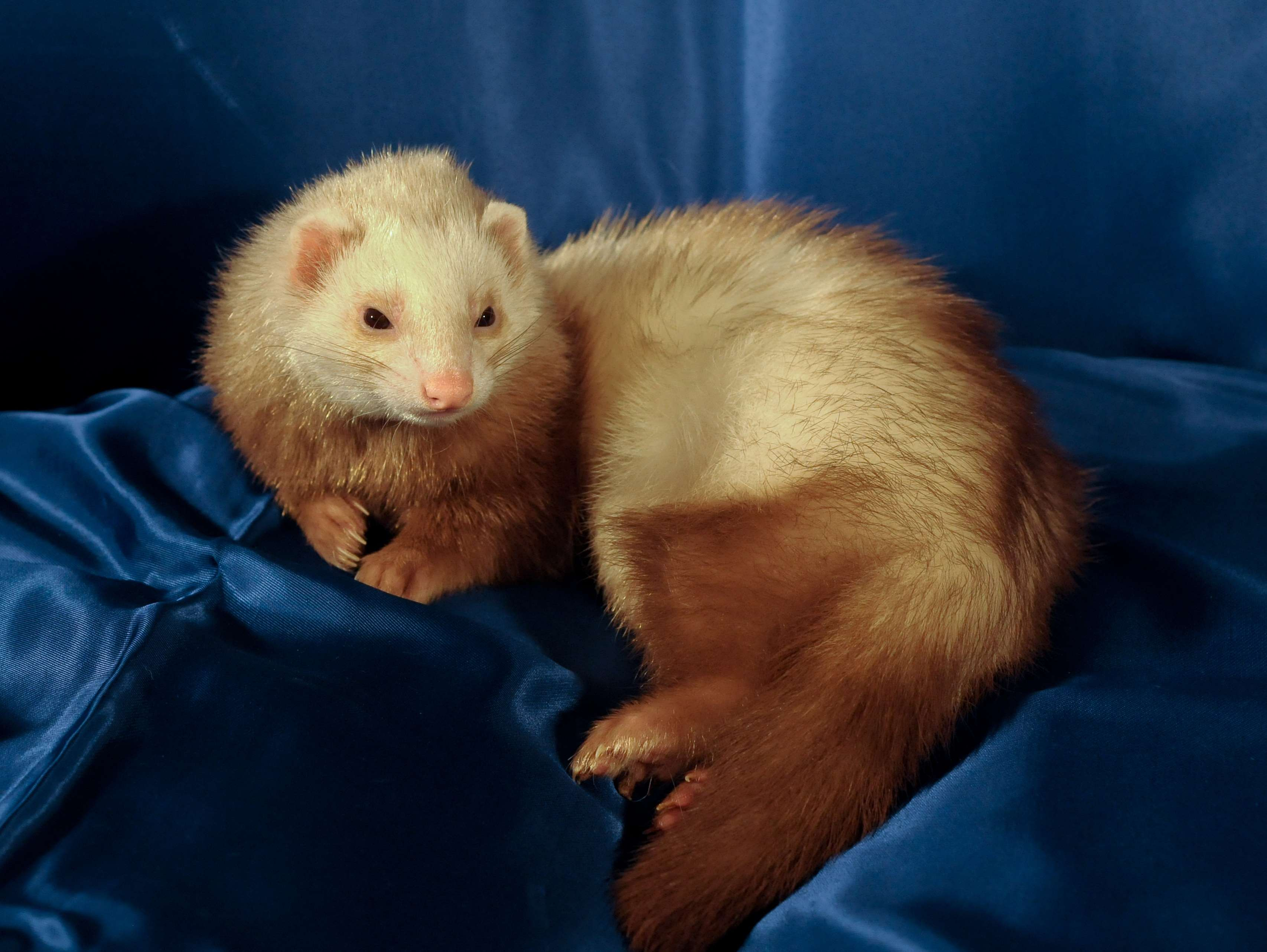Animal Domestic Ferret Wallpaper And Background 胴 が 長い 動物 1388227 Hd Wallpaper Backgrounds Download