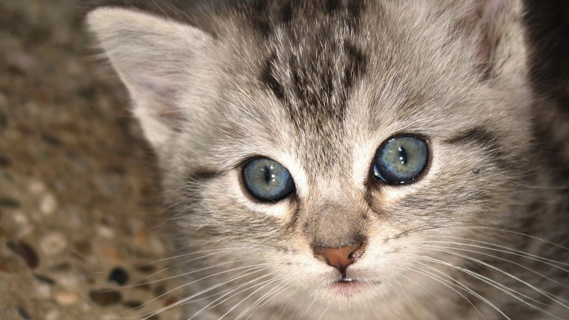 Kitten With Blue Eyes Wallpapers And Images Kitten With Grey Eyes 1397418 Hd Wallpaper Backgrounds Download