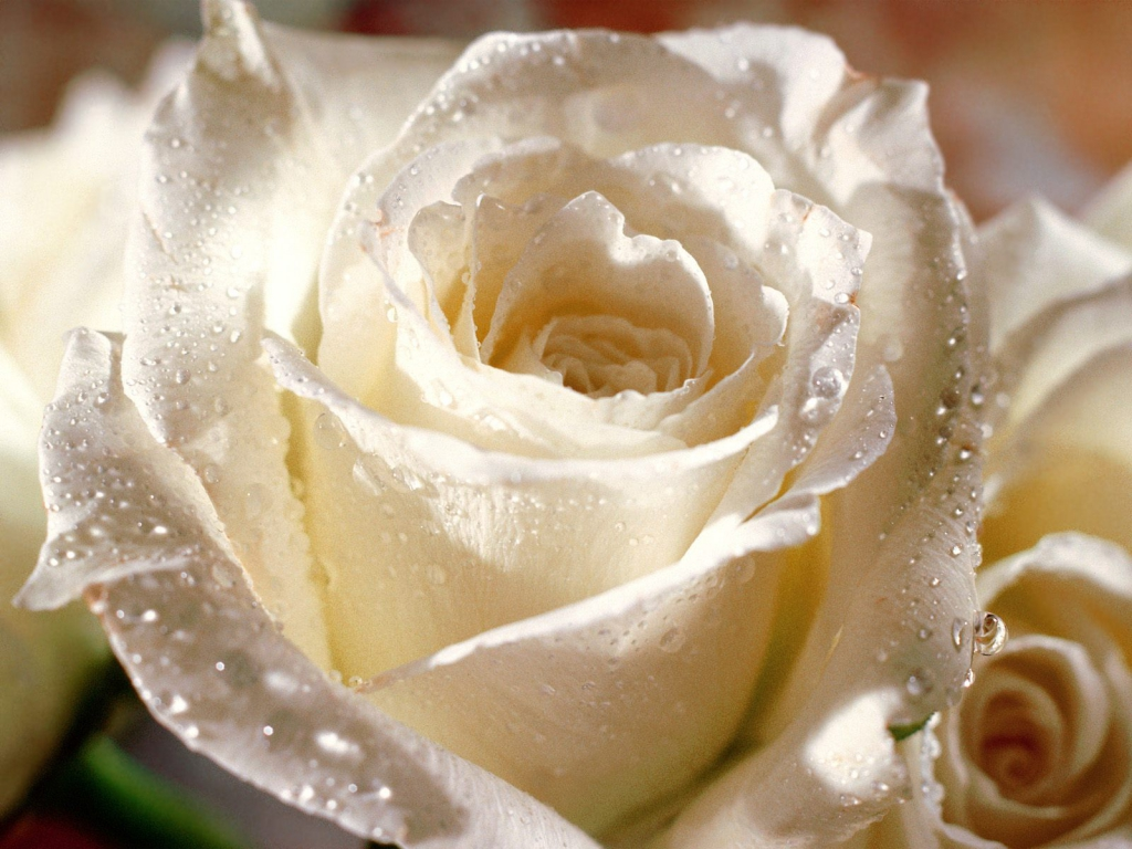 Beautiful Flower Wallpapers - Good Evening White Roses , HD Wallpaper & Backgrounds