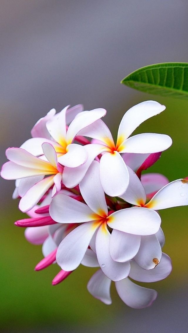 Beautiful Flowers Wallpapers For Phone 143710 Hd Wallpaper Backgrounds Download