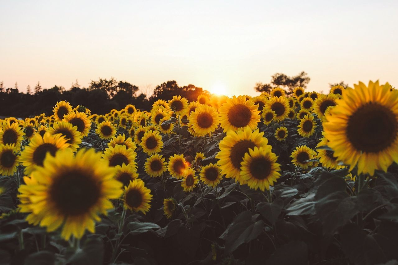 Sunflower Backgrounds - Yellow Aesthetic Laptop Background ...