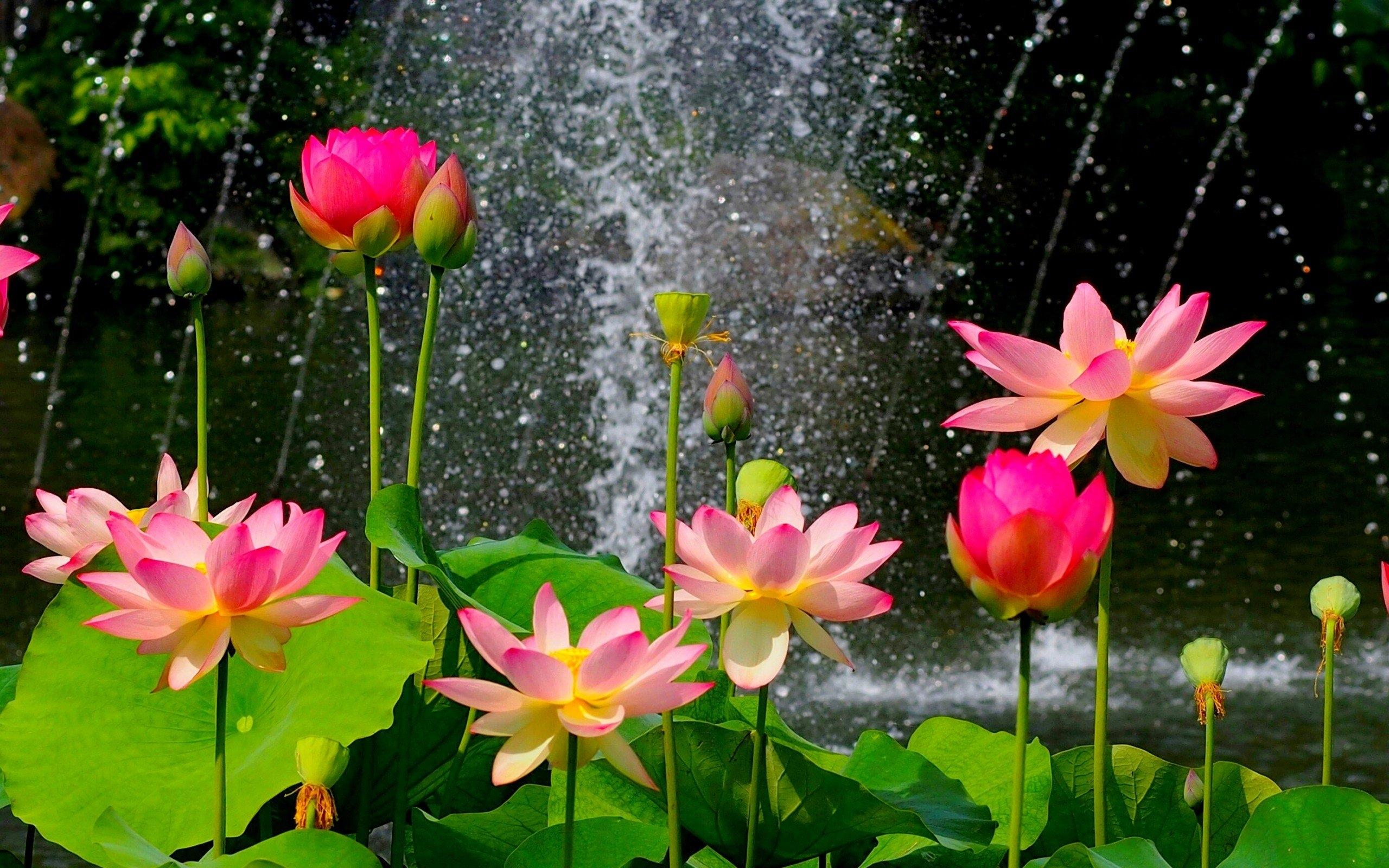 Hd Wallpapers - Most Beautiful Lotus Flower , HD Wallpaper & Backgrounds