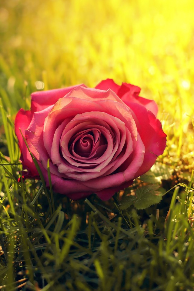 Wallpaper Resolutions - Small Rose Wallpaper For Iphone , HD Wallpaper & Backgrounds