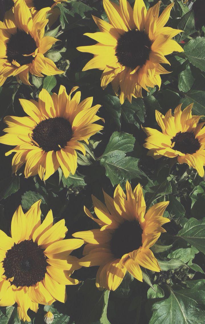 Anniehallw Sunflower Iphone Wallpaper Yellow Flowers Iphone