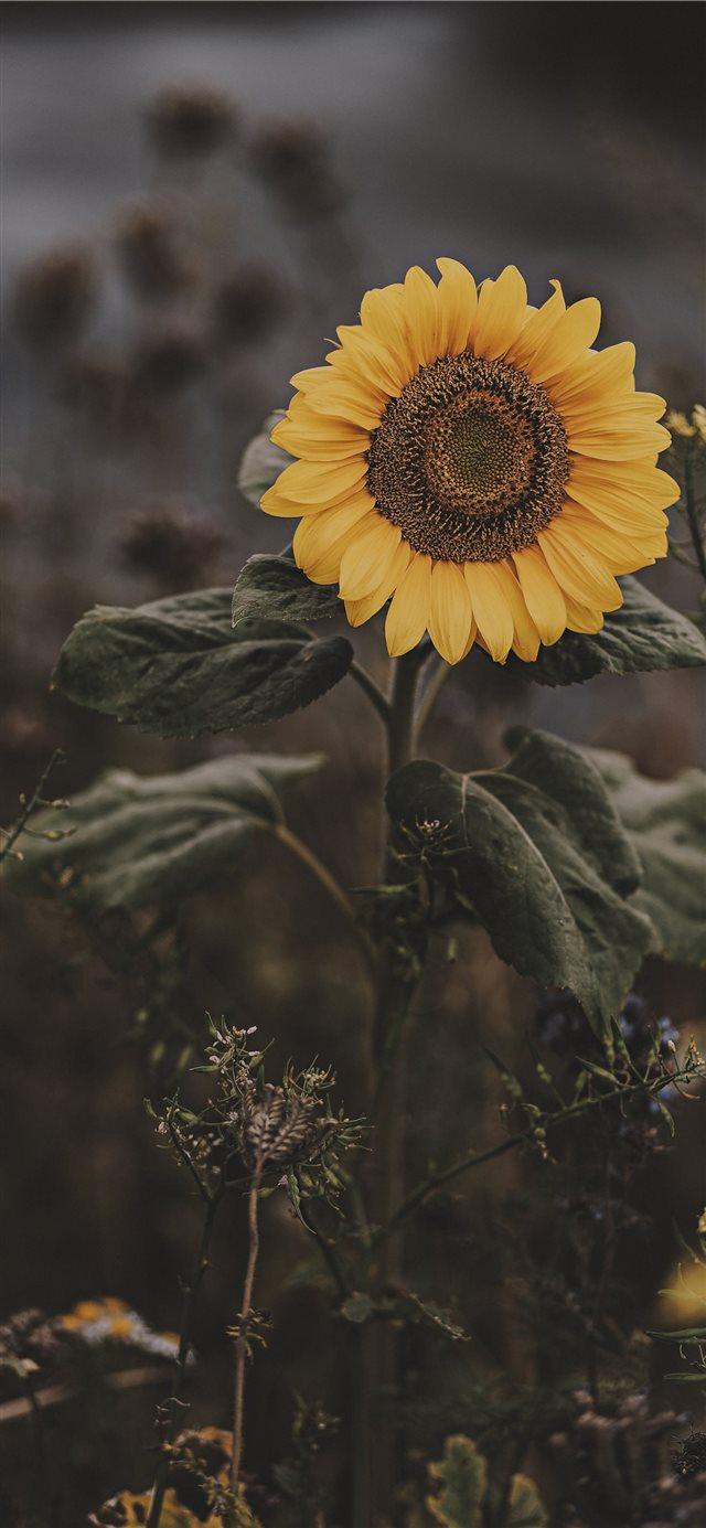 Sunflower Iphone X Wallpaper Sunflower Wallpaper Iphone Xs